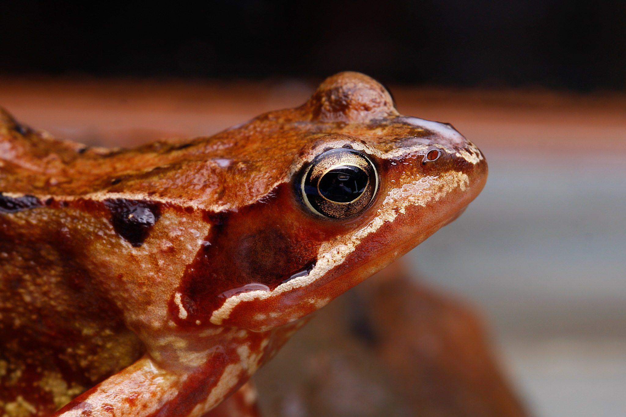 frog by Renaat