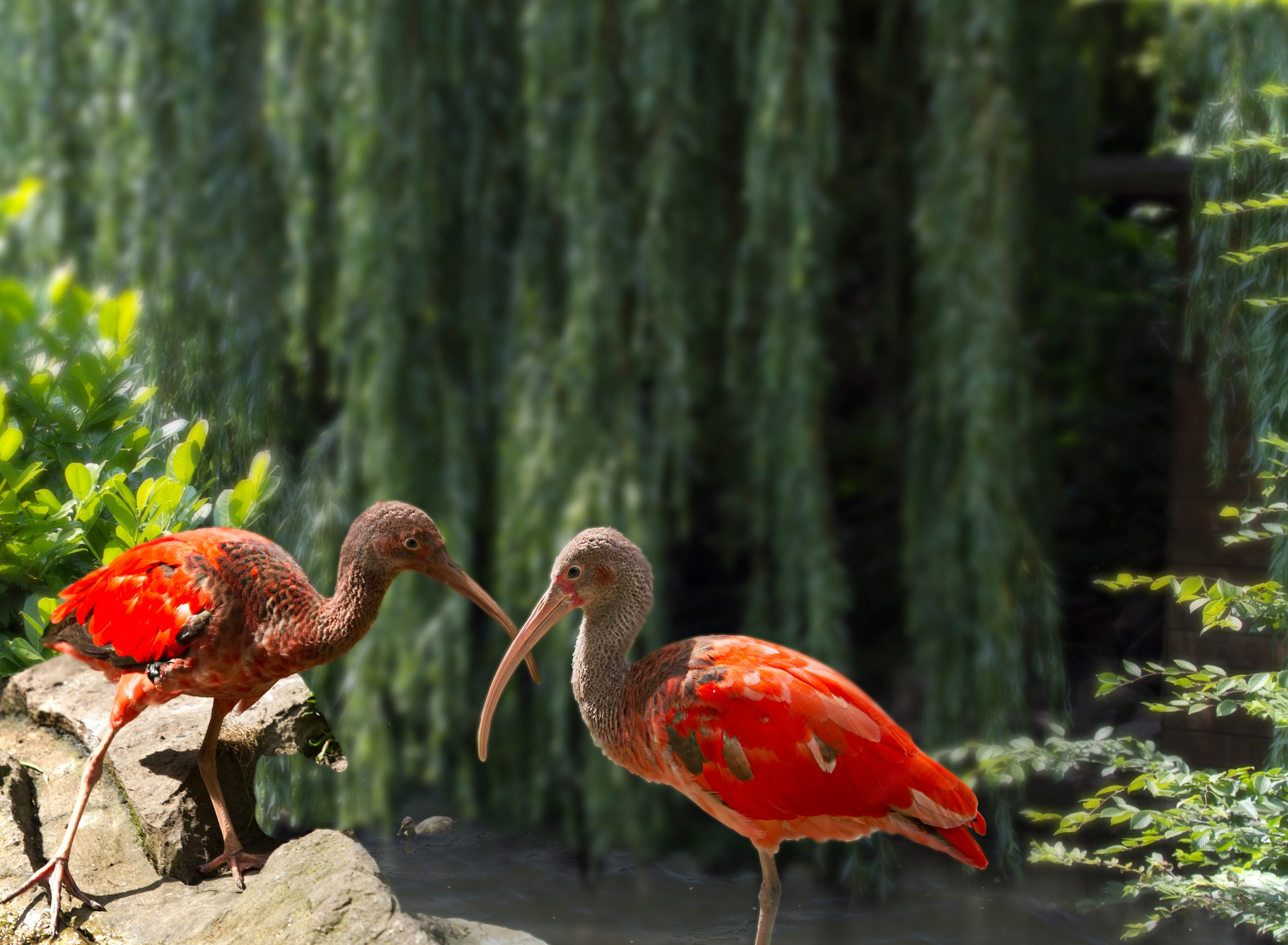 rode Ibis by Renaat