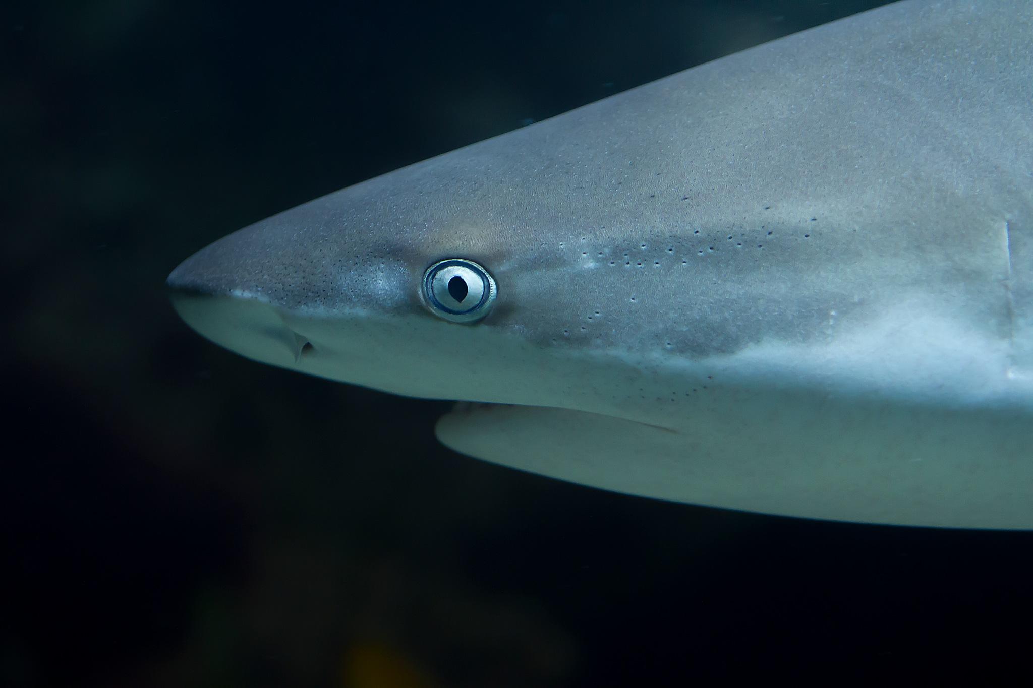 shark by Renaat