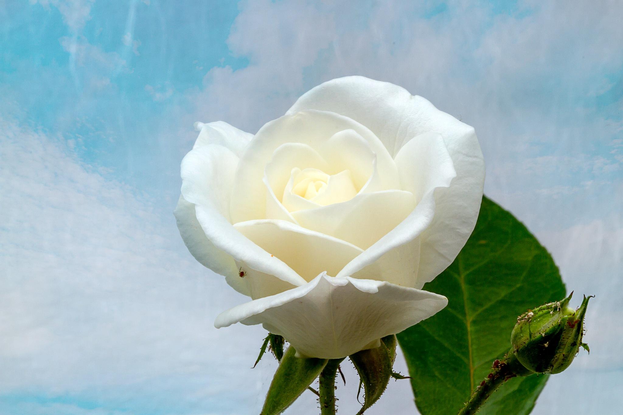 white rose by Renaat