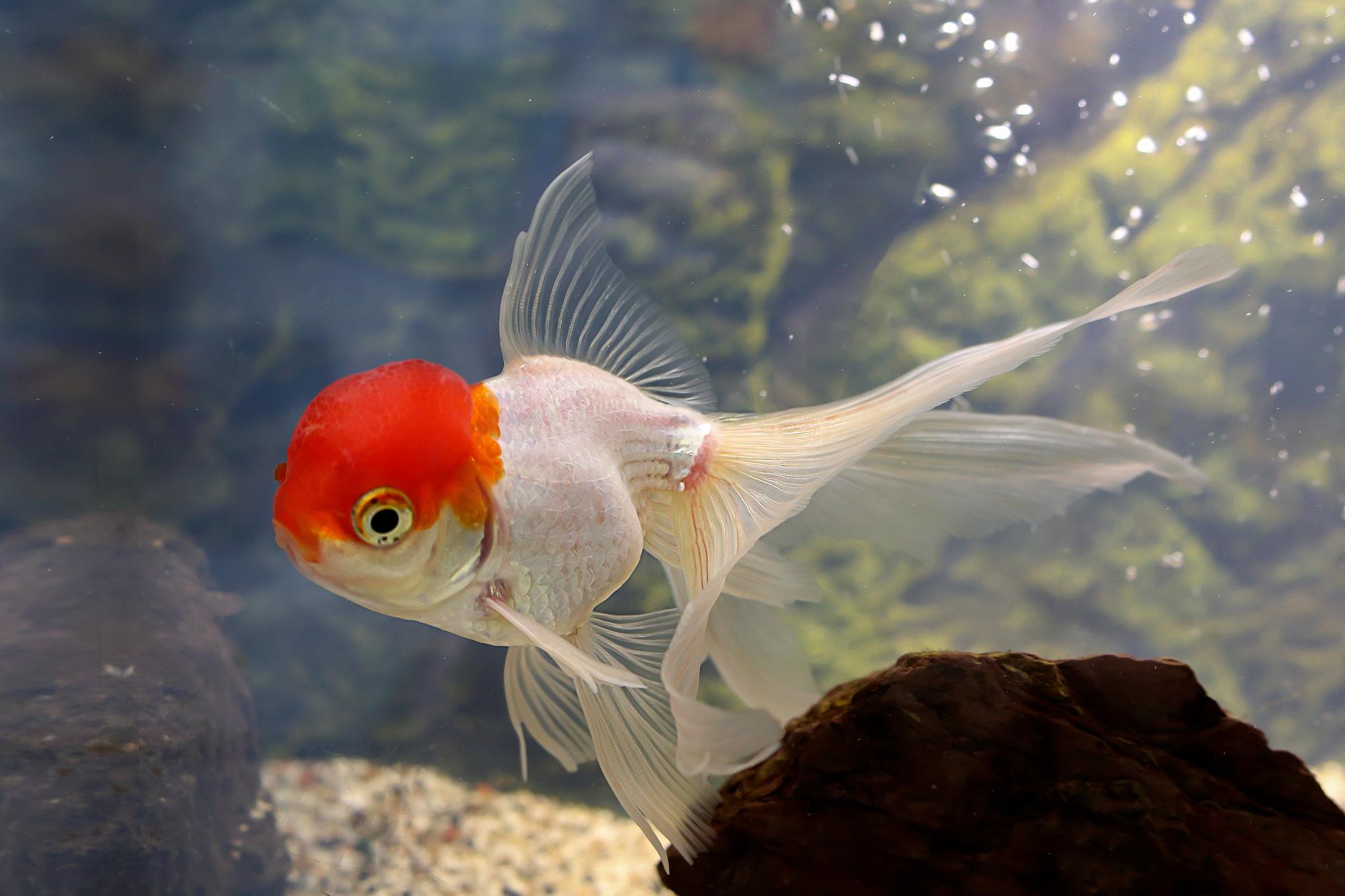 goldfish by Renaat