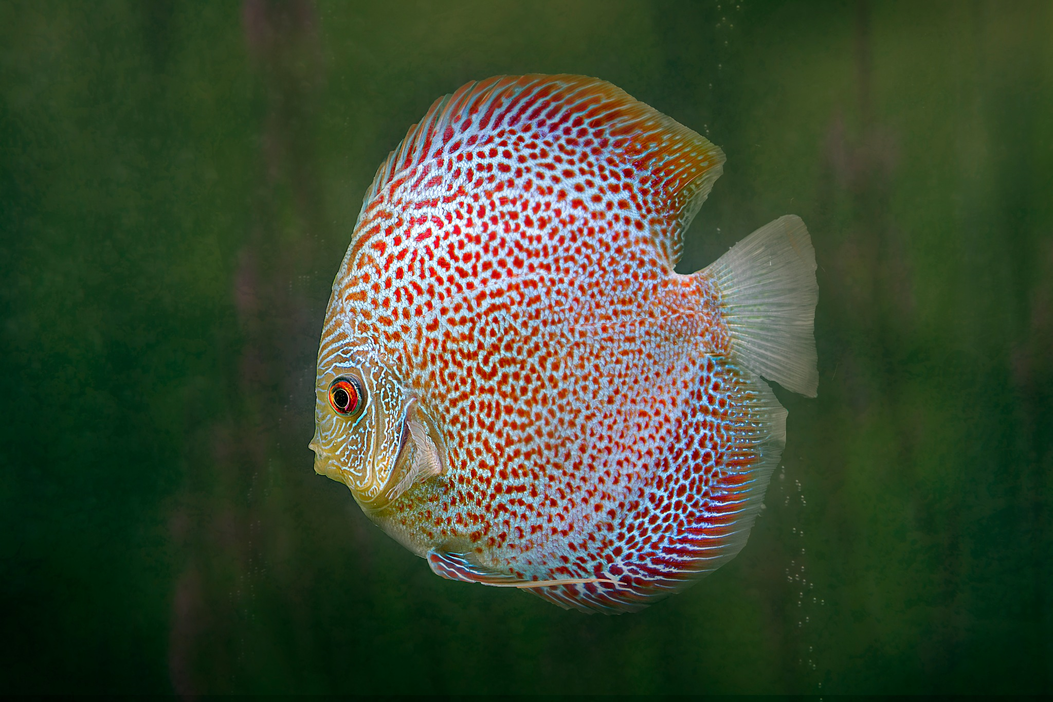 discus by Renaat