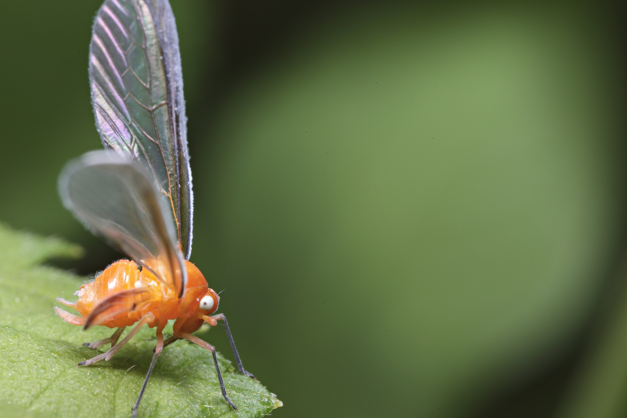 Derbid planthopper by kim_adhen