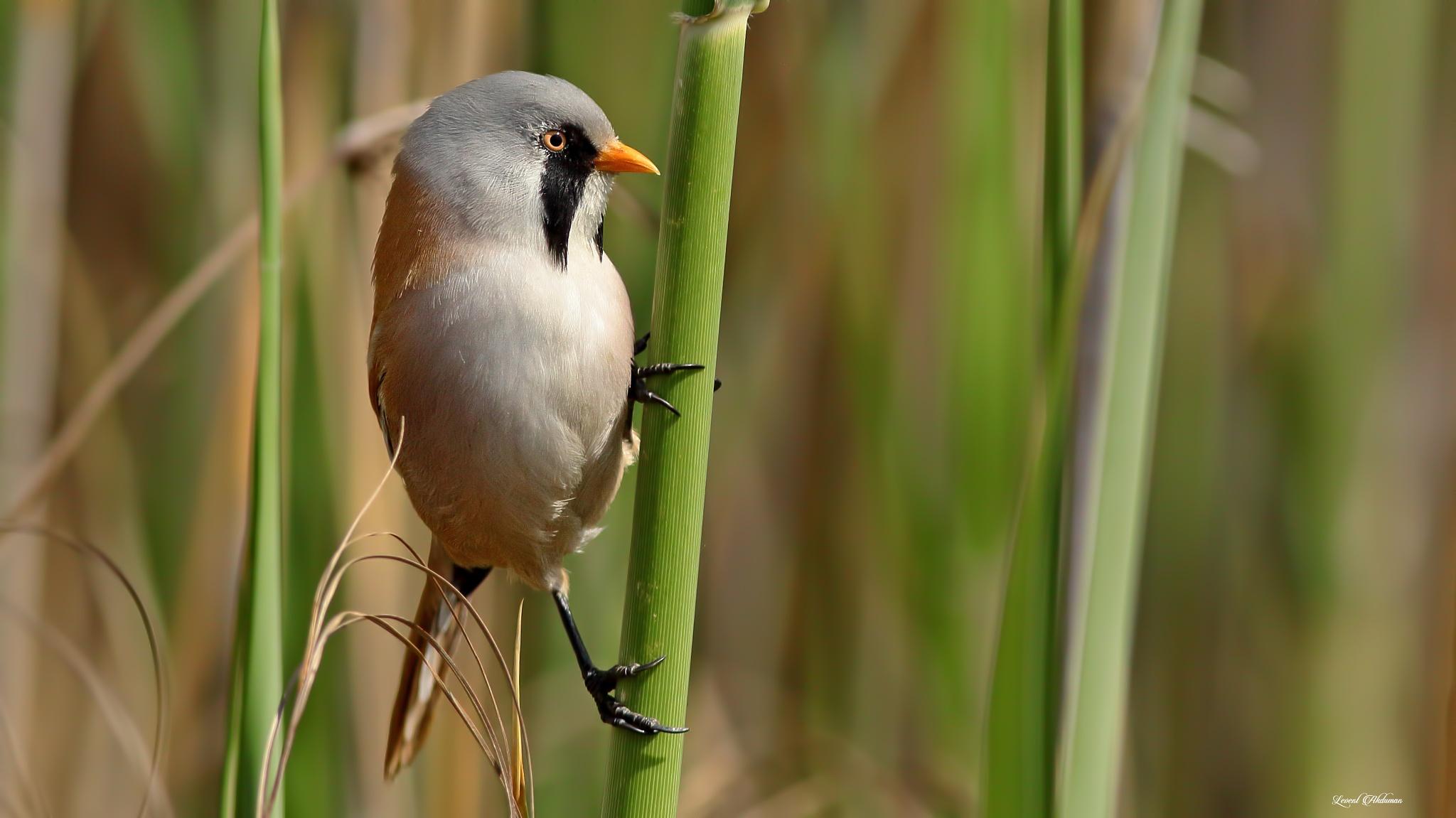 Photo in Animal #bird #bıyıklı baştankara #bearded reedling #bearded tit #bearded #panurus biarmicus