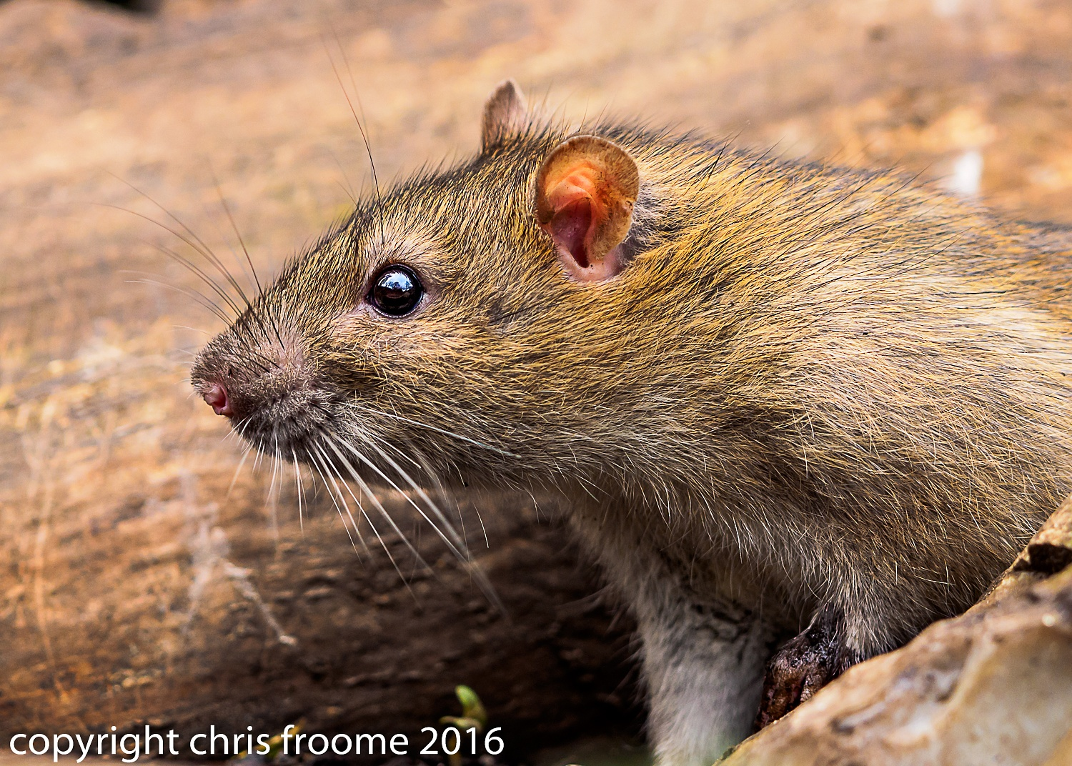 Ratty emerging by froomey