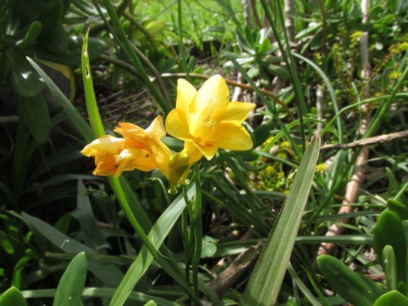 """""""Fresias amarillas."""" by lusombra"""