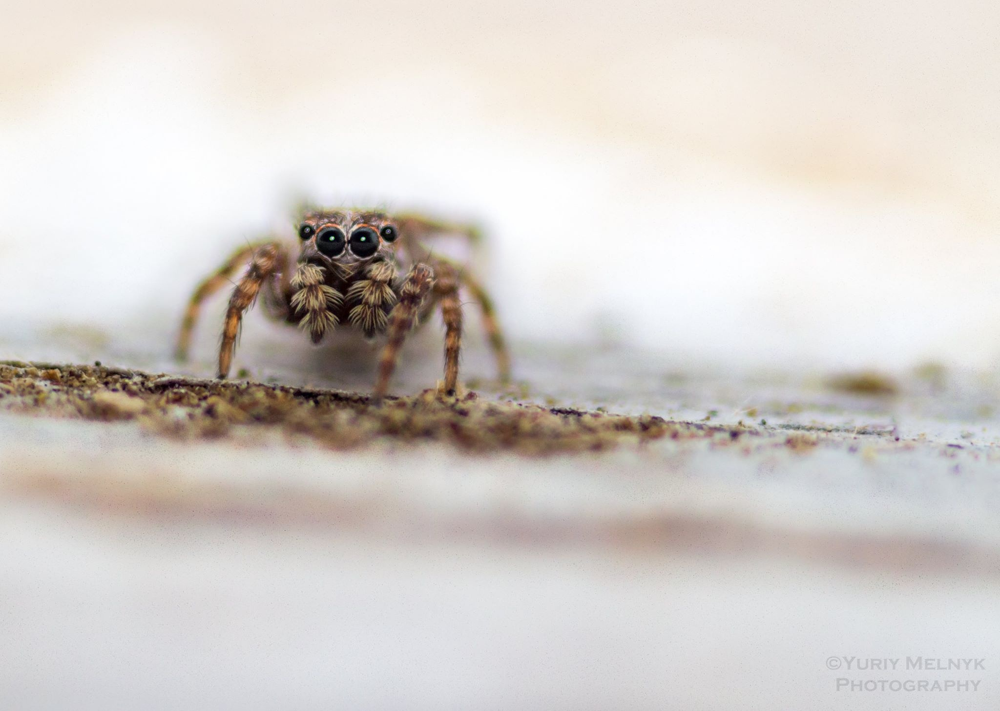 Macro shot of jumping spider  by Yuriy Melnyk Photography