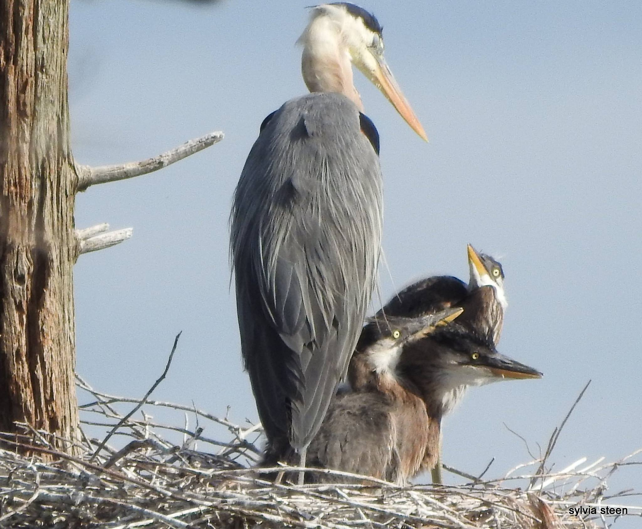 Blue Heron Family by owllady