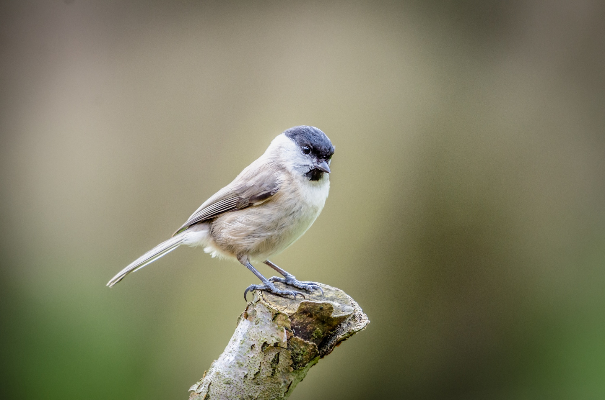 Marsh tit by En Passant Photography