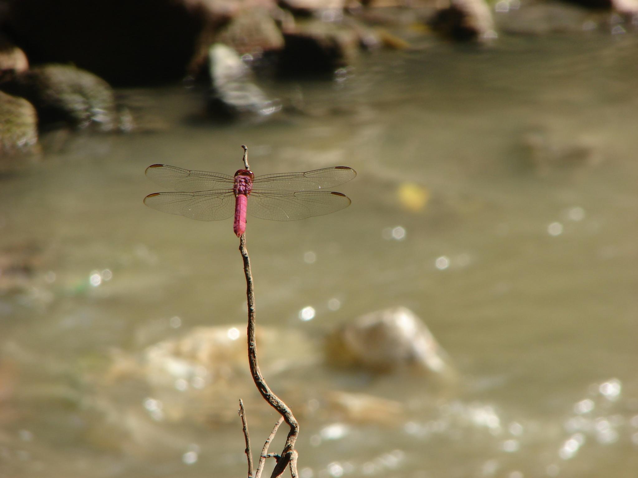 dragonfly by J.R.Galindo