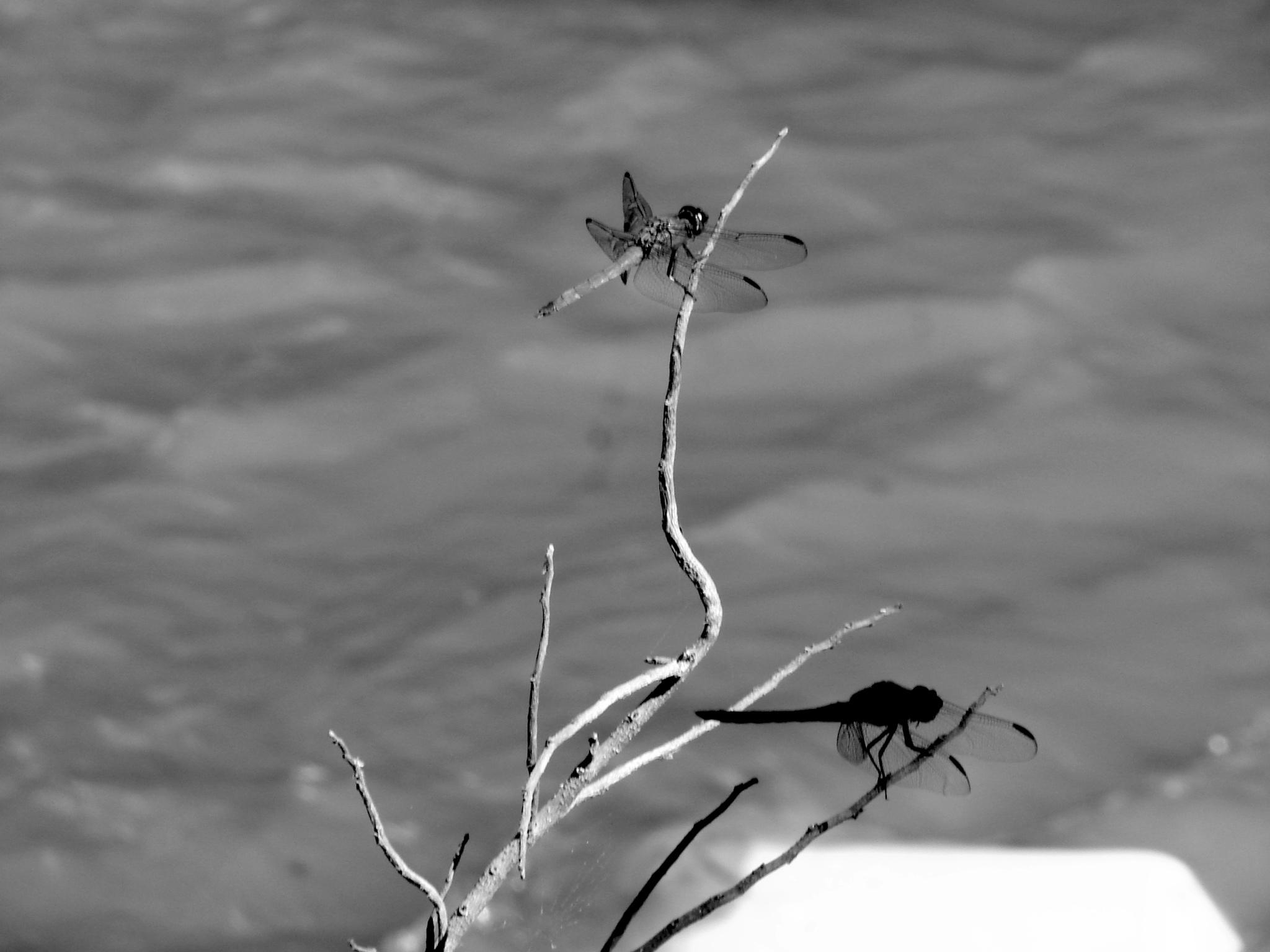 dragonfly-B&W by J.R.Galindo