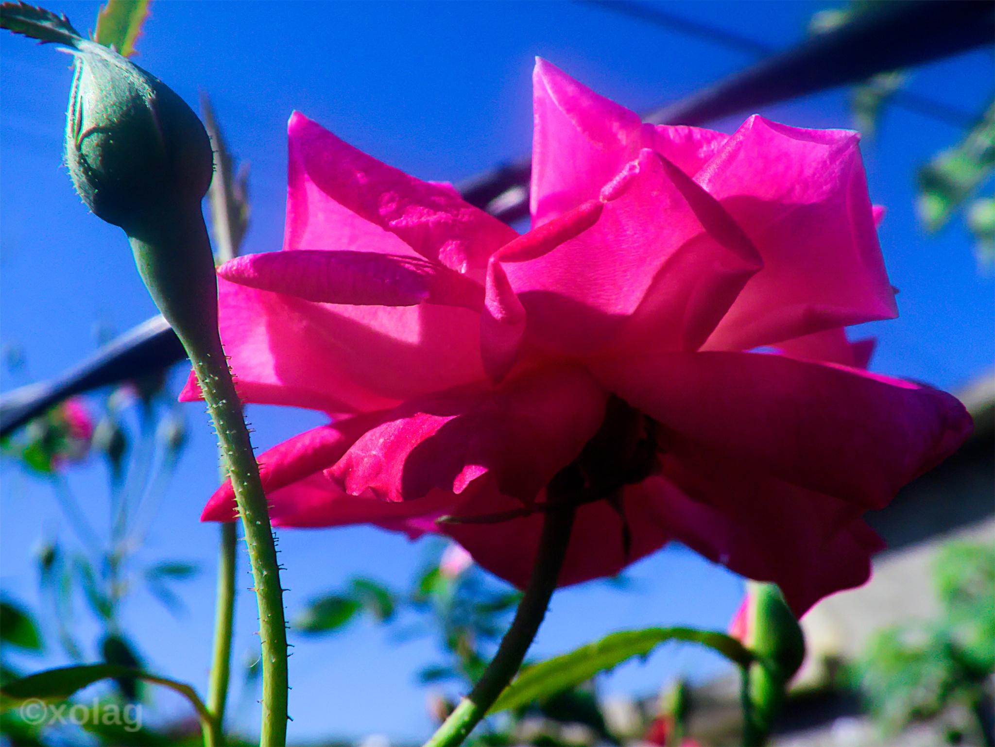 La rosa y su boton by J.R.Galindo