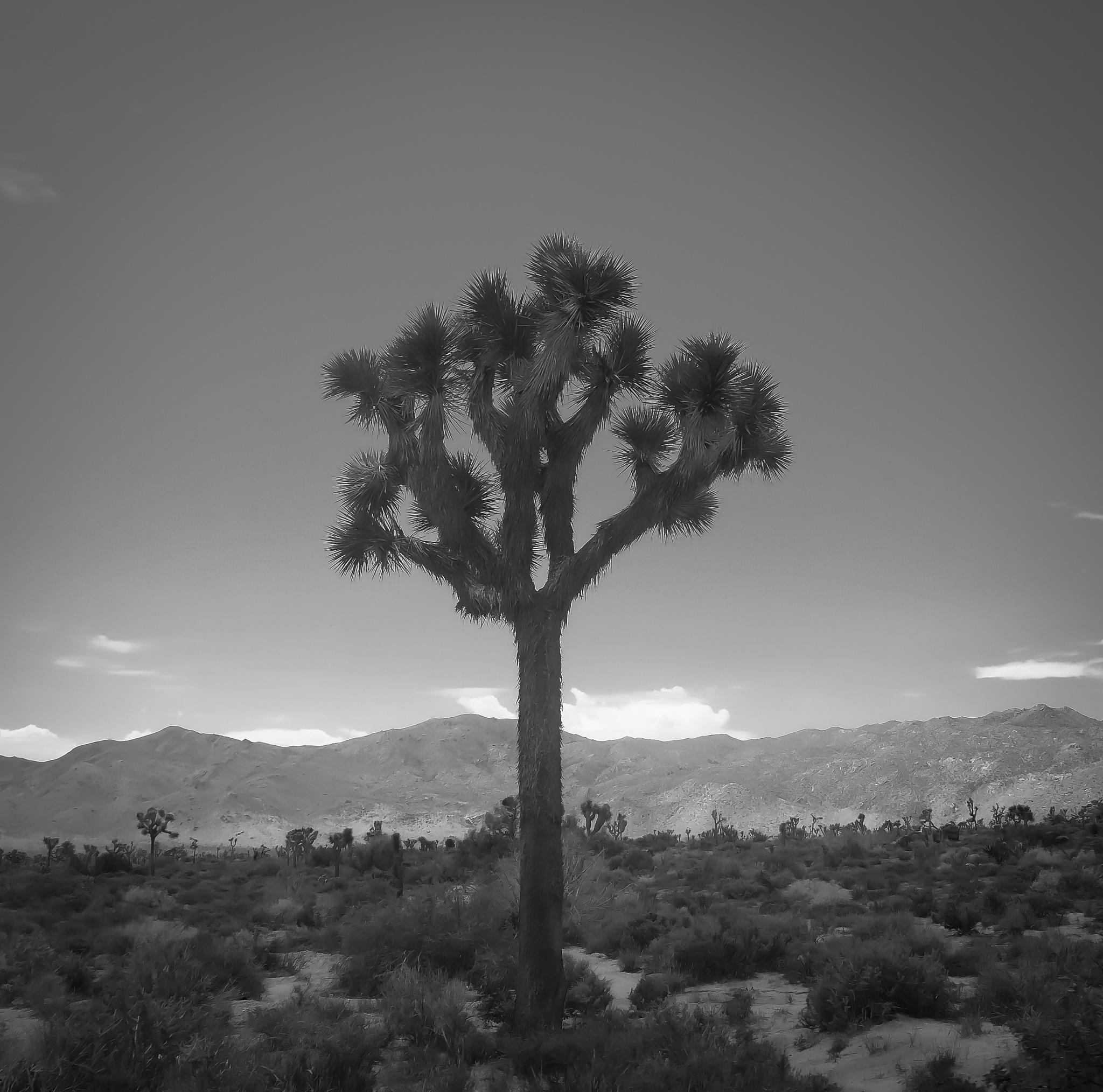 Joshua Tree by Alexander Hug