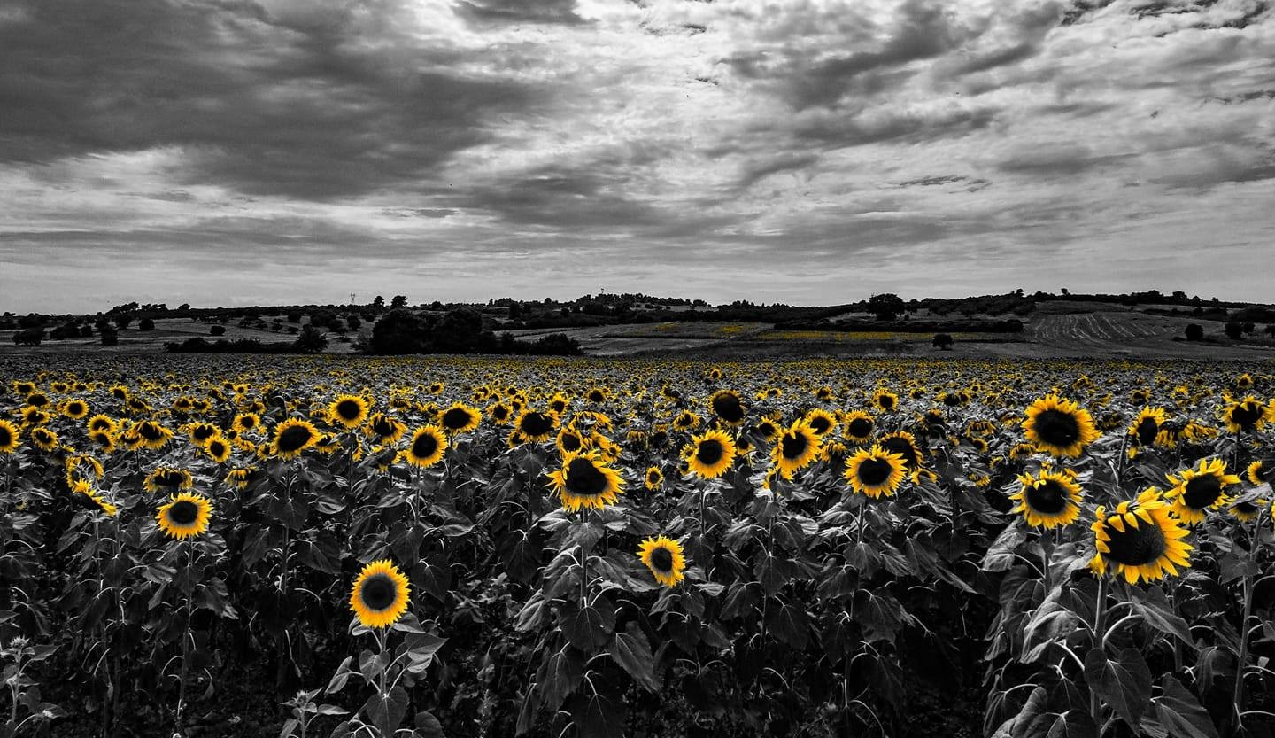 sunflower  by evamil