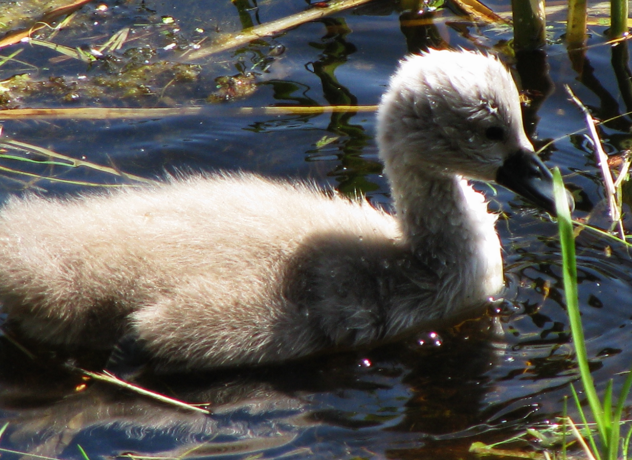 swan baby by Ilga Freimane