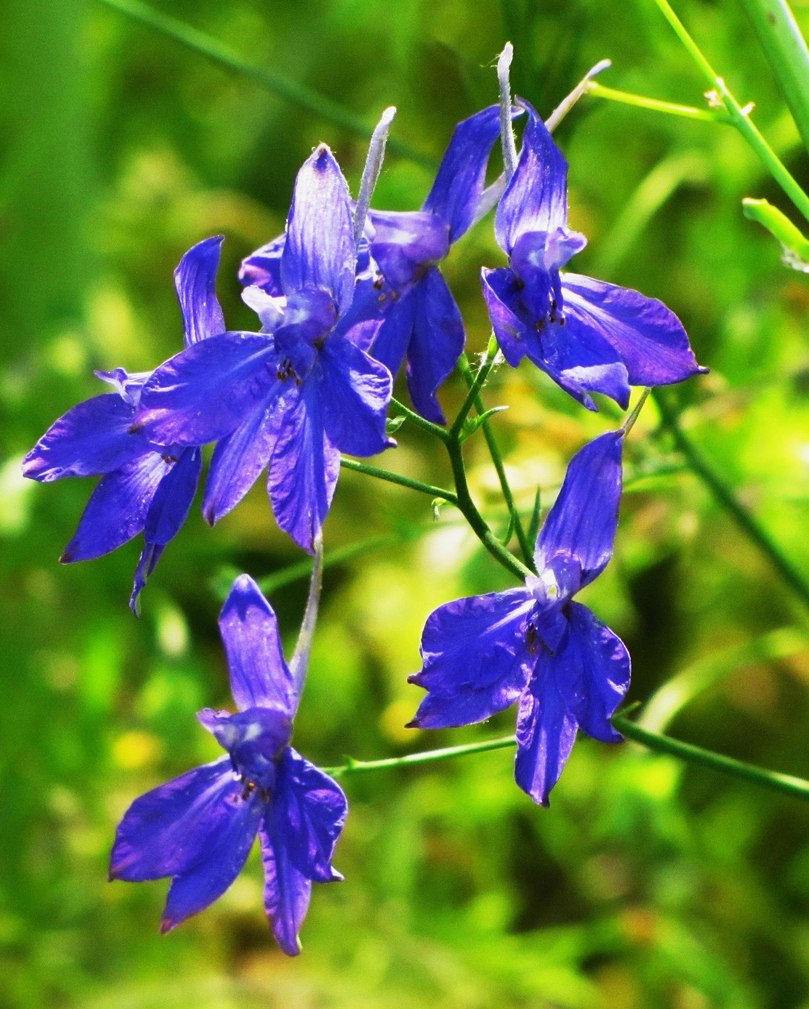 blue flowers by Ilga Freimane