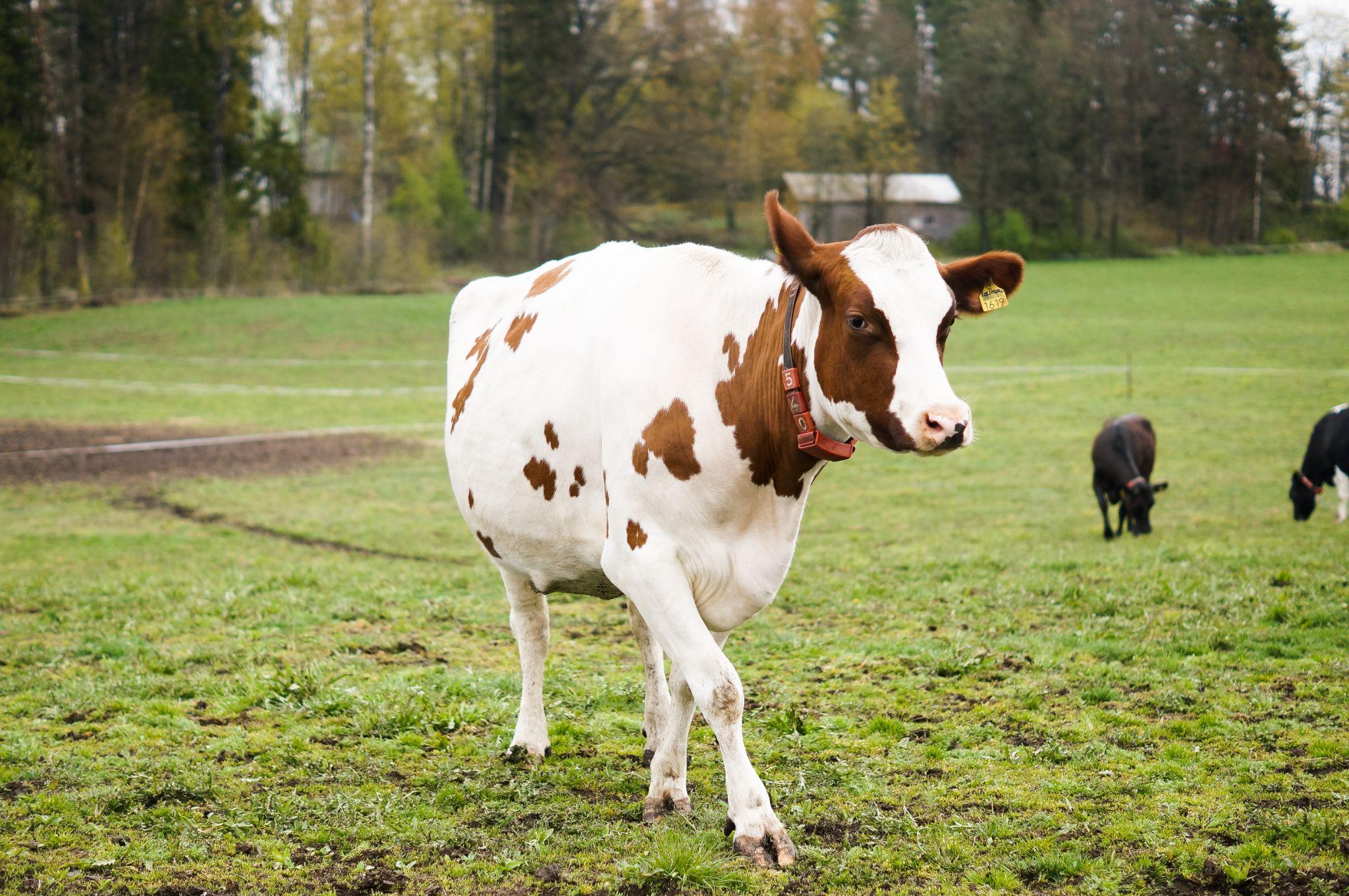 """Kosläpp """"Cow release""""   by dhuldin"""