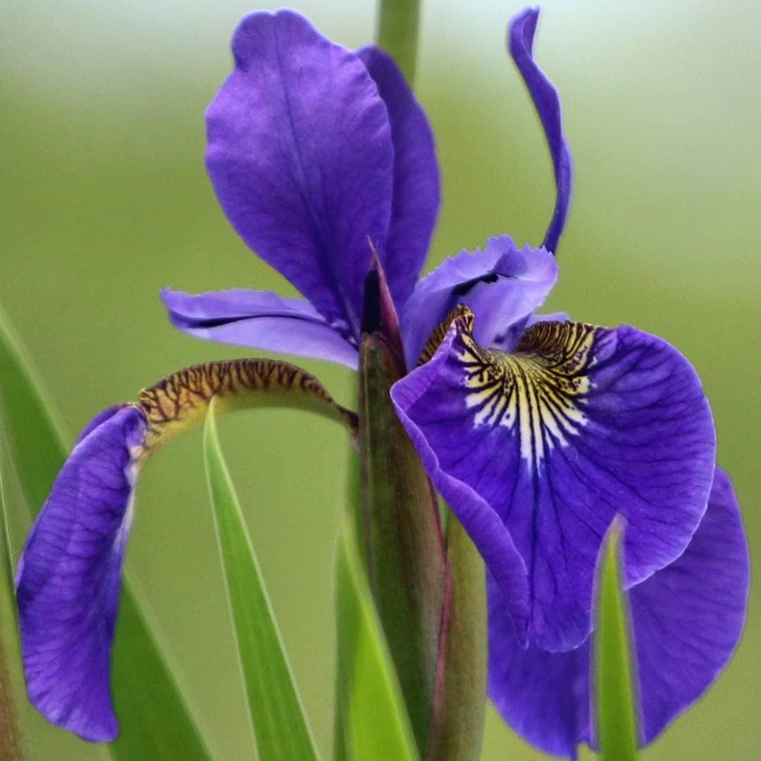 iris by prb75