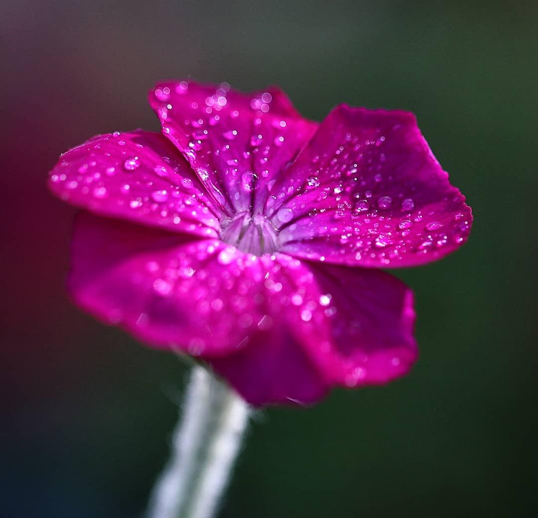 lambsear bloom by prb75