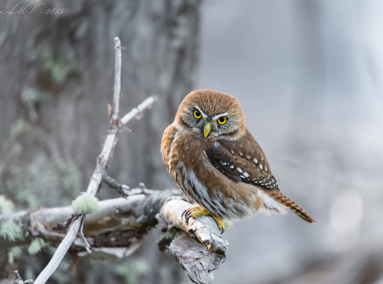 Little owl by Álvaro Méndez Vielmas