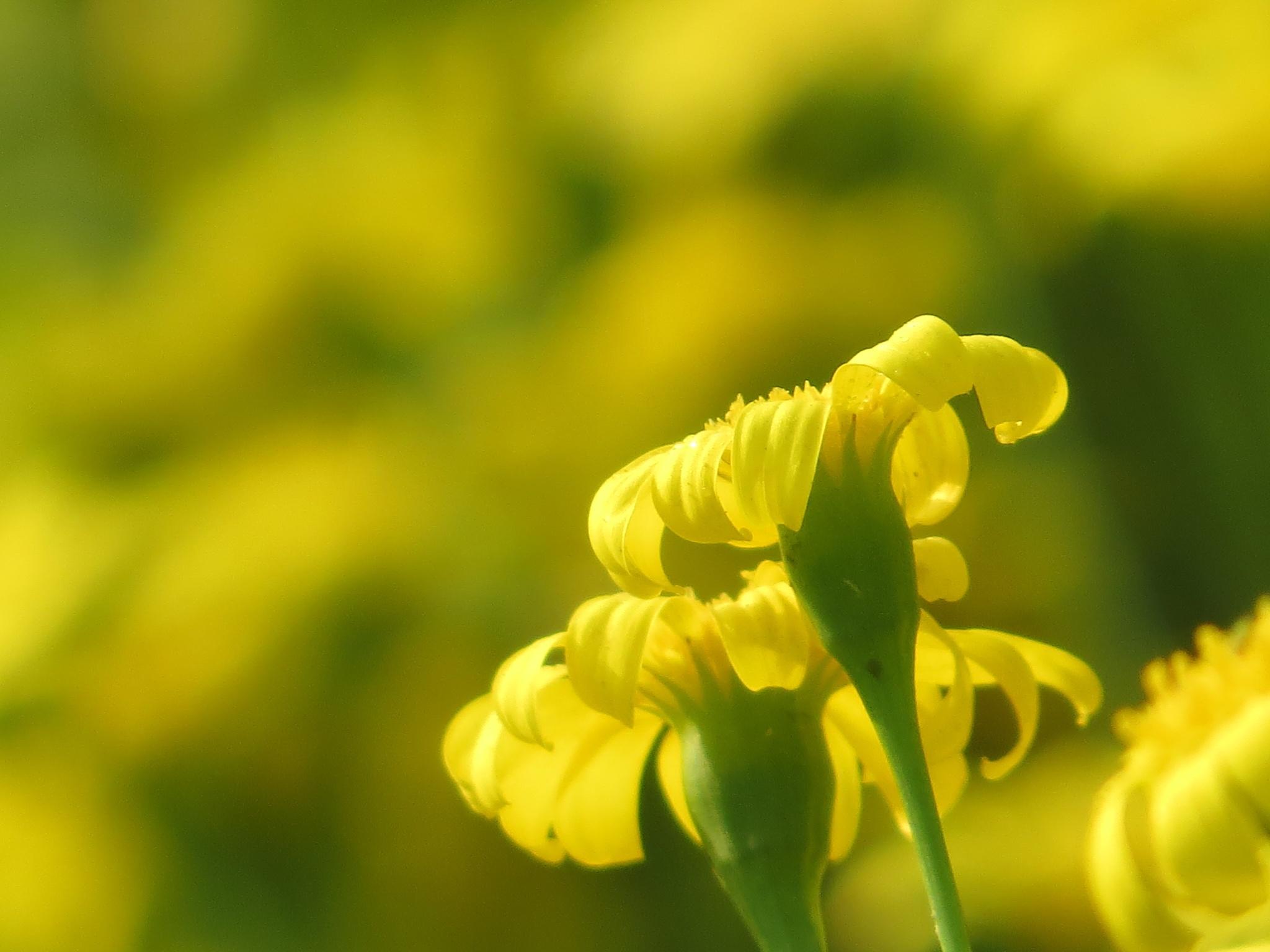 Yellow by NavedAnsari