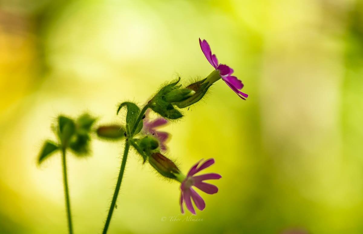 flower by Tibor Altmann