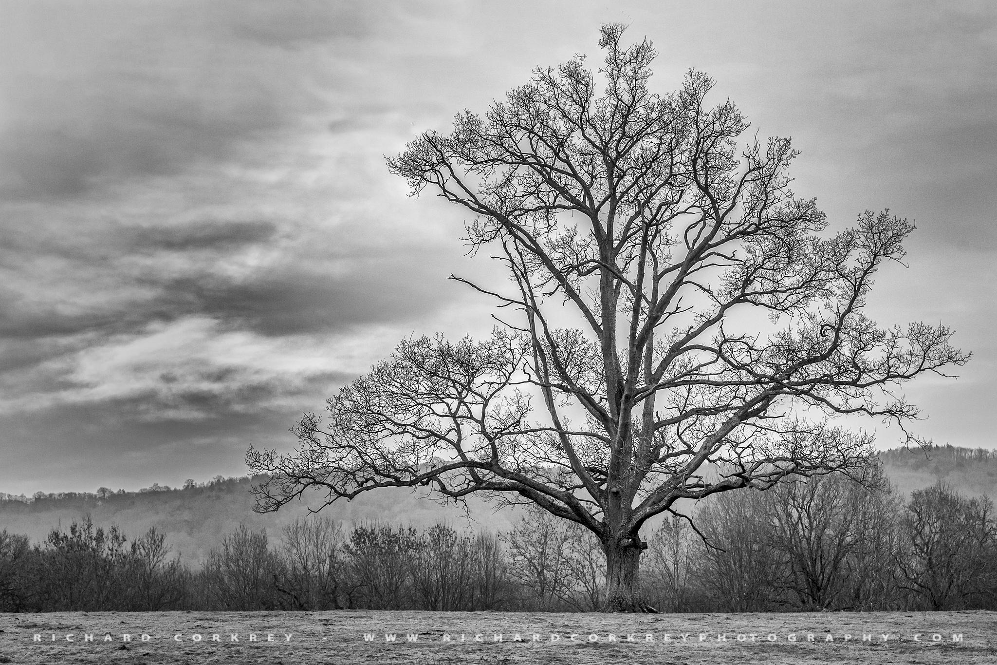 Lone Tree by Richard Corkrey