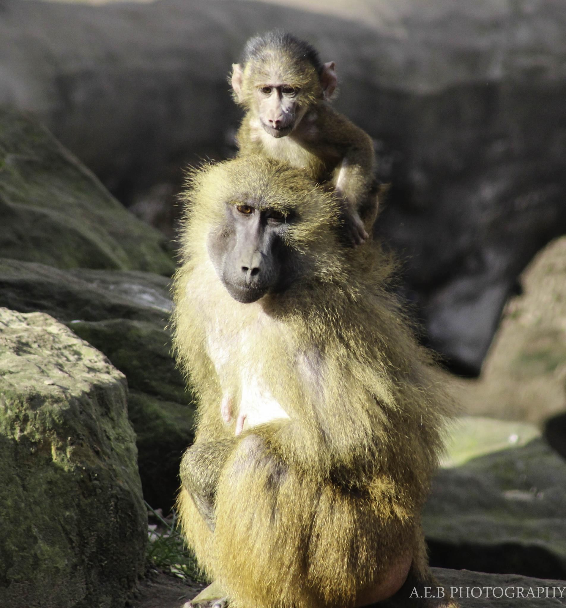 Baboons by Annice Bridgett