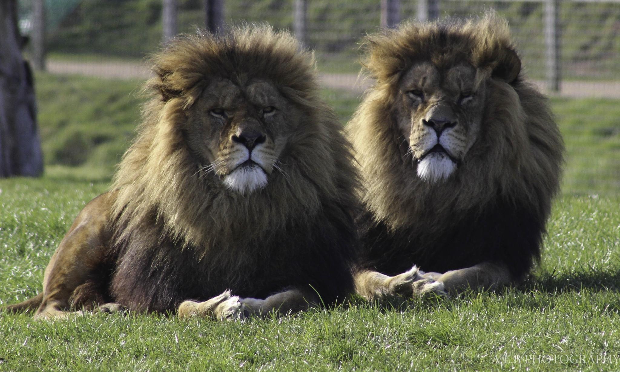 Lions by Annice Bridgett