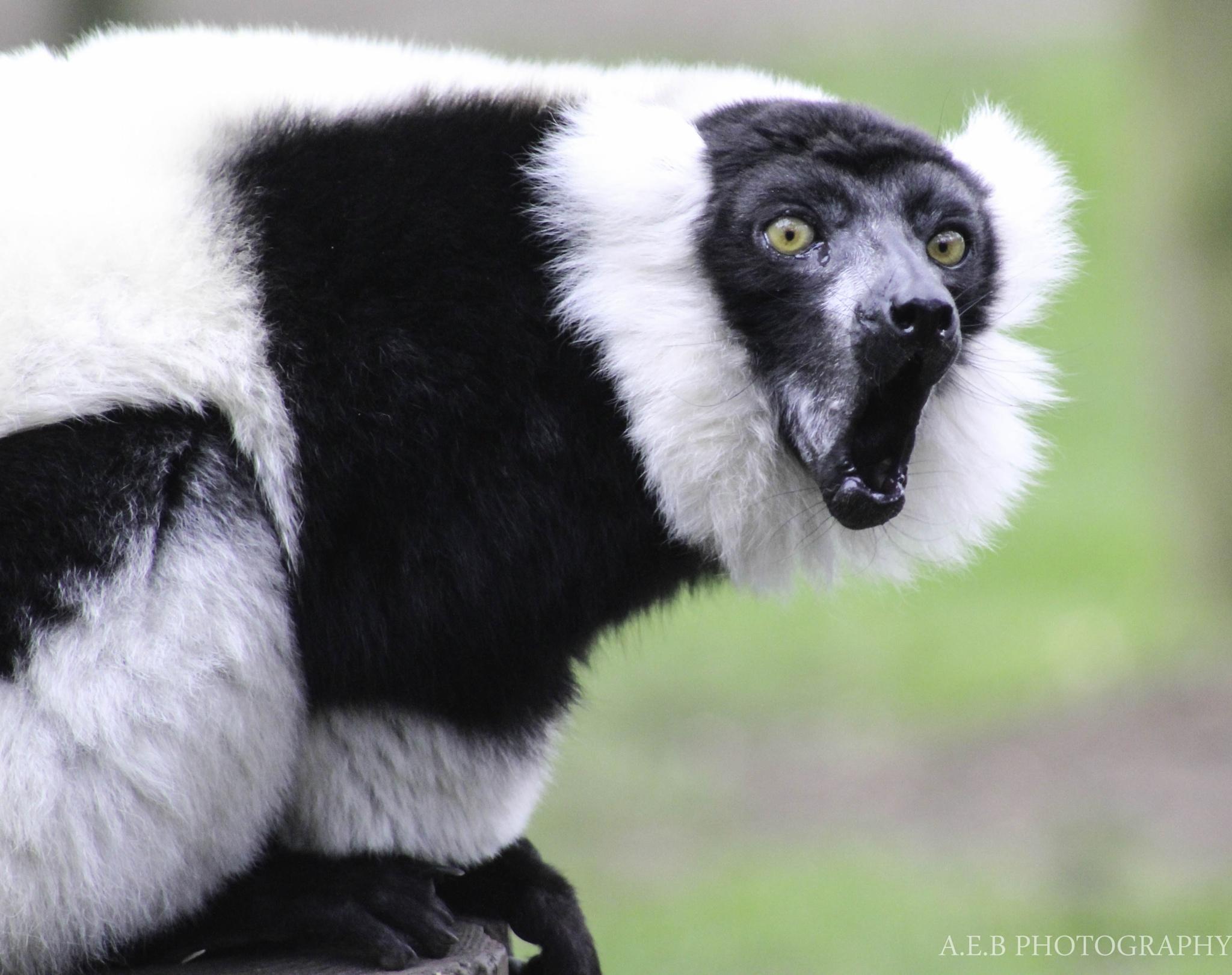 Black-and-white ruffed lemur Calling  by Annice Bridgett