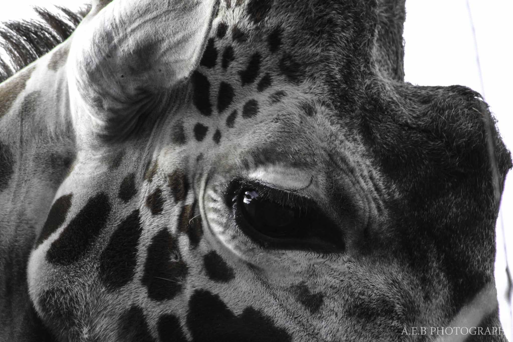 Giraffe by Annice Bridgett