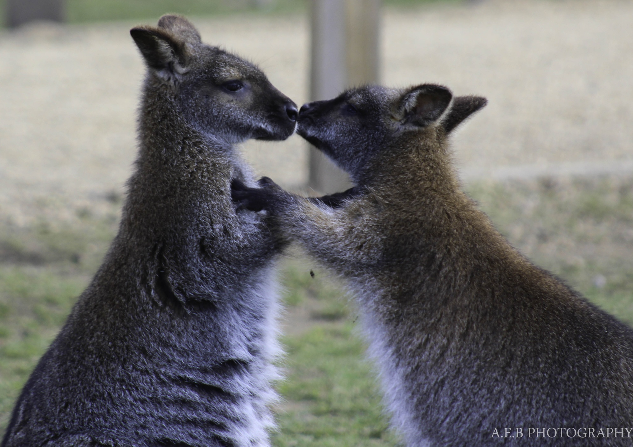 Wallaby's  by Annice Bridgett