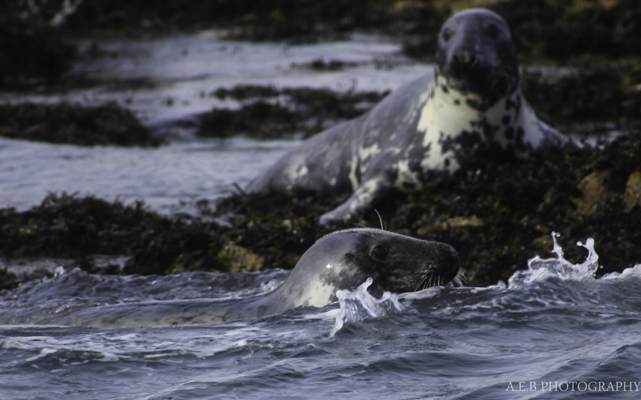 Photo in Animal #seals #nateral #habitat #animals #mammals #sea #swimming #photography #nature #wildlife #northumberland