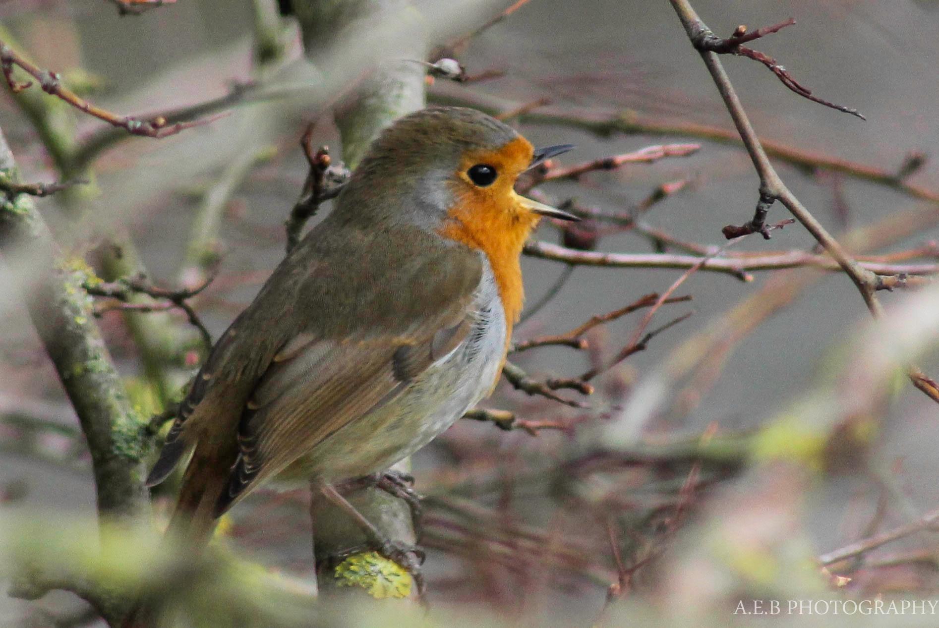 Robin by Annice Bridgett