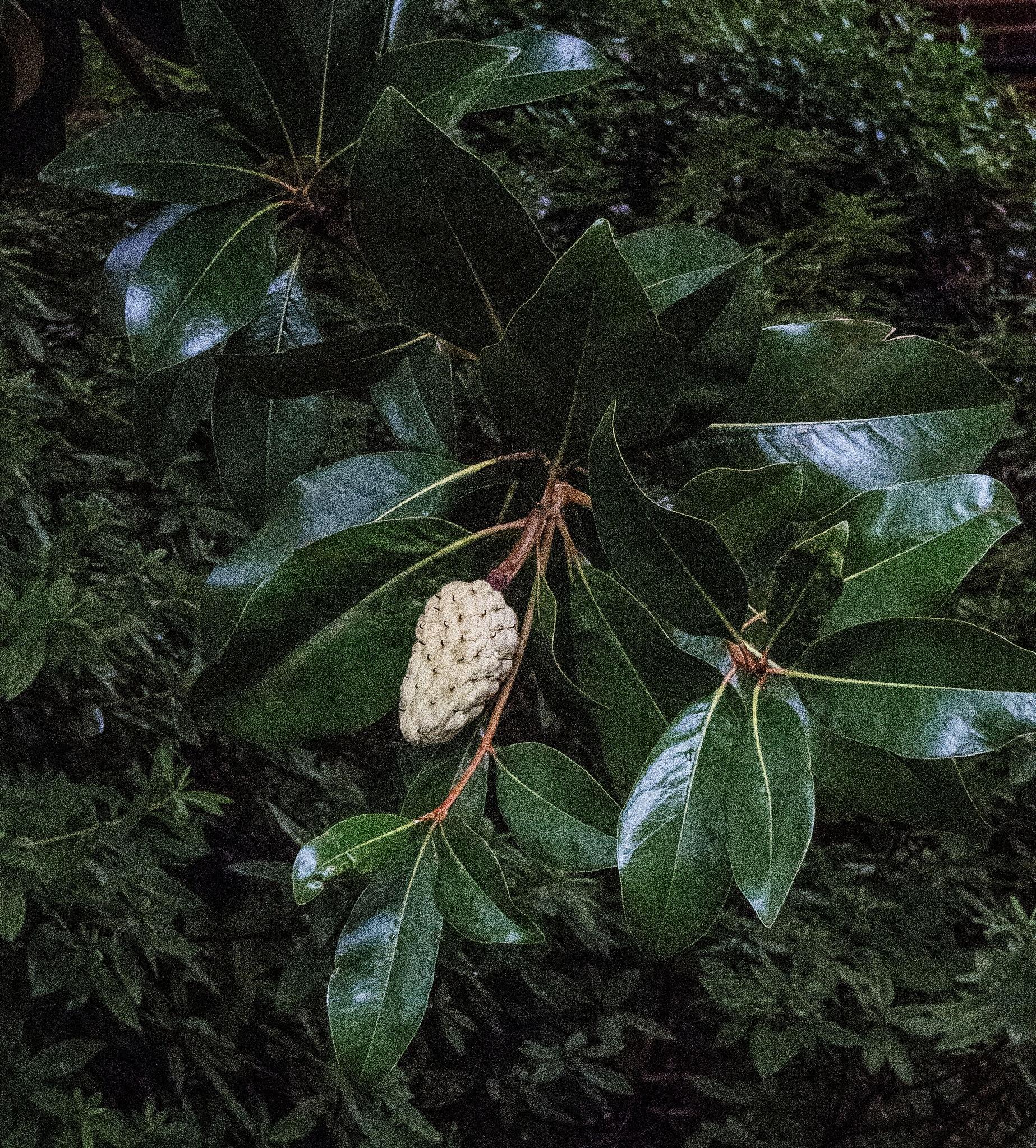 Magnolia Mood by Bob Yankle