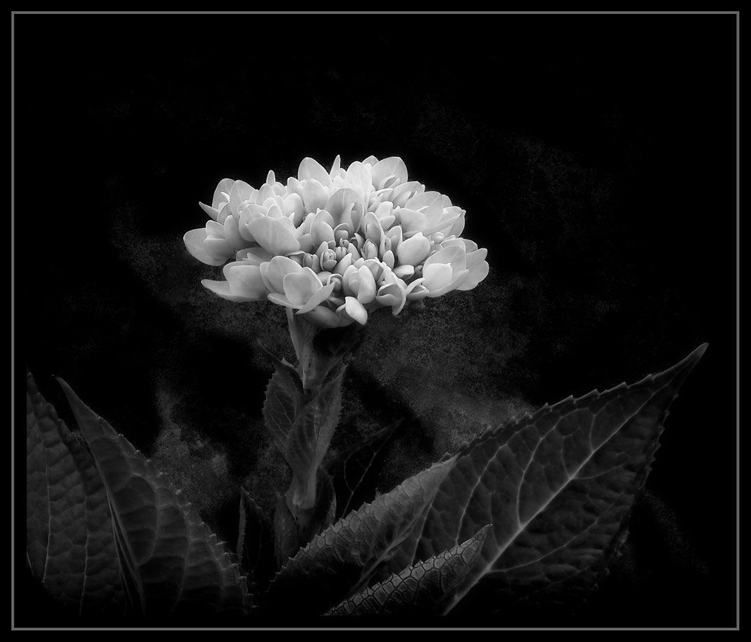 Hydrangea Bud by Bob Yankle
