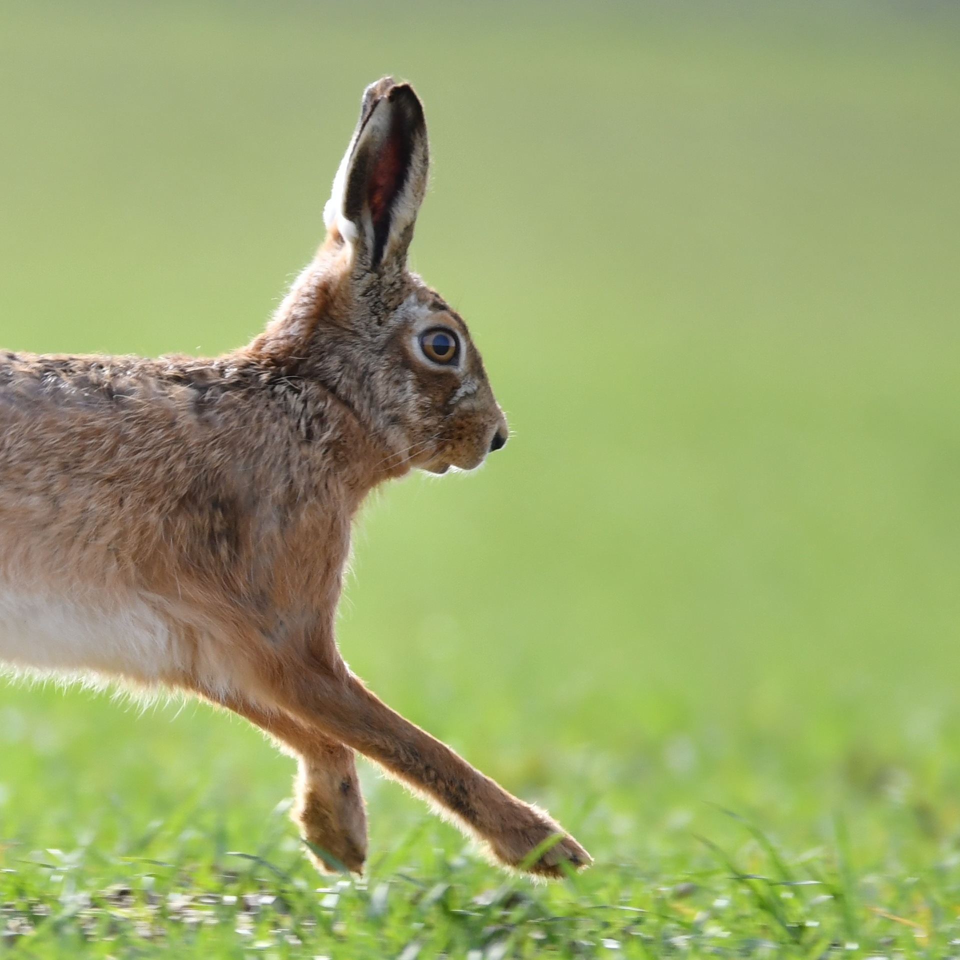 Hare by Isa Spirlet