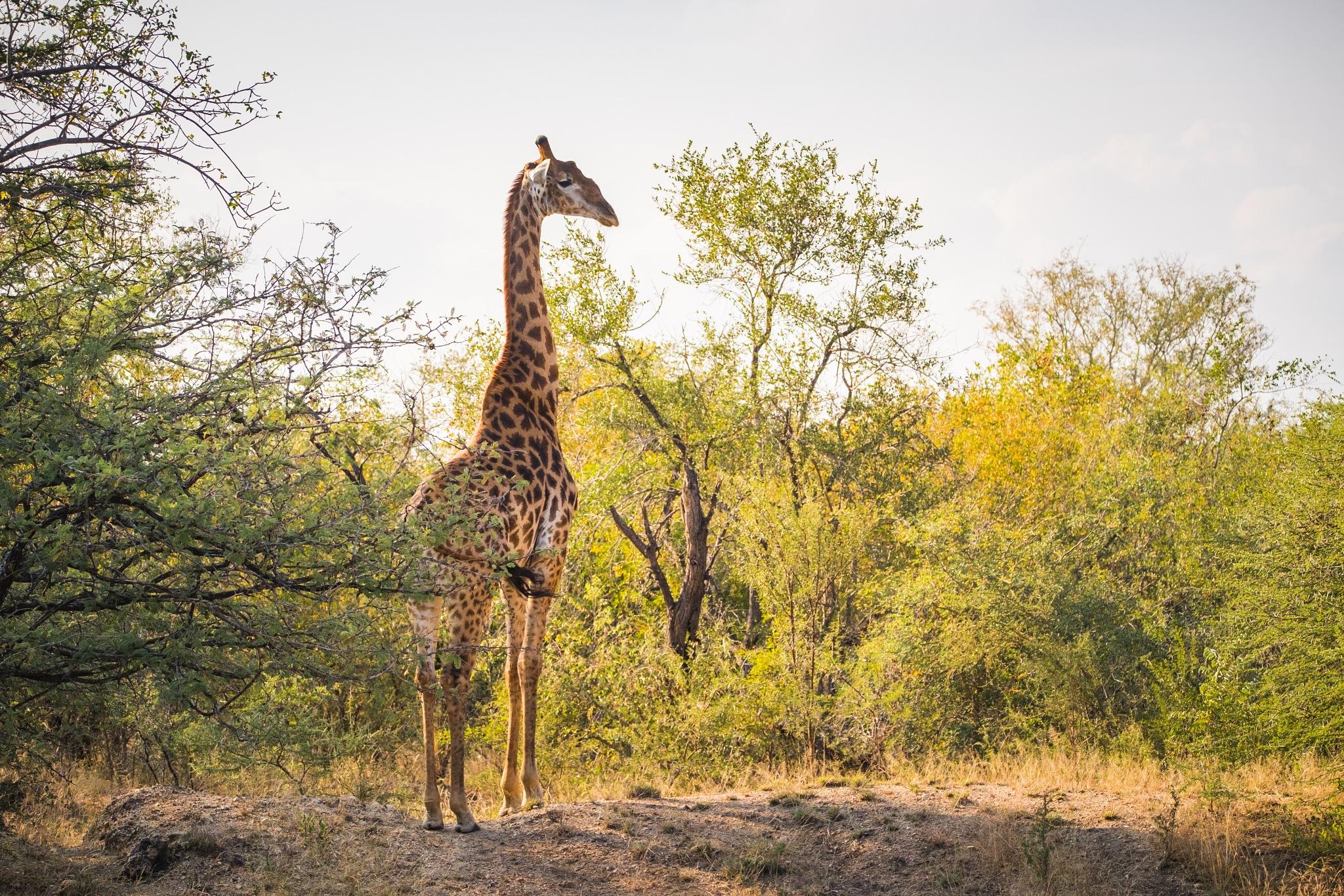 Giraffe by Dimitri Louwet