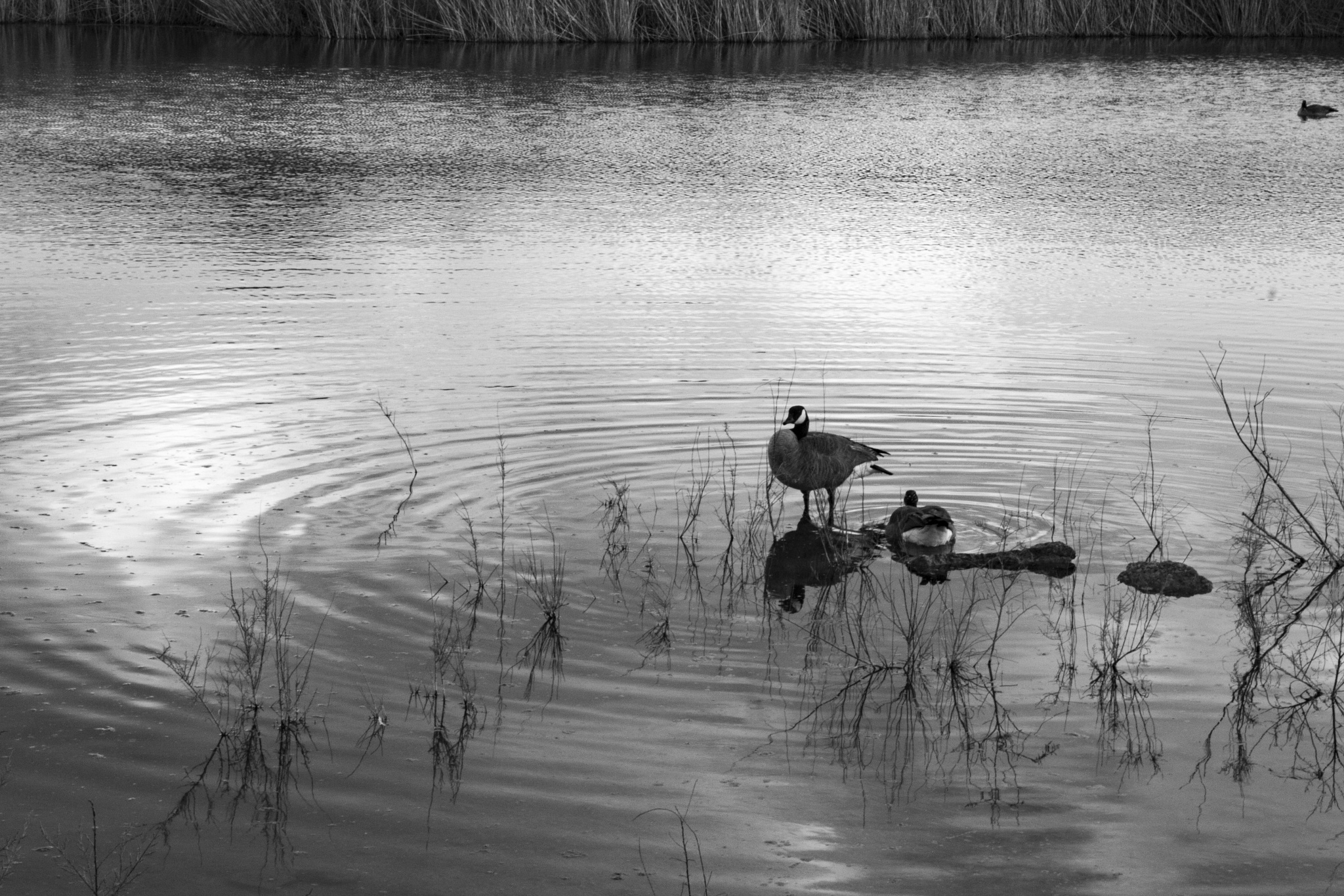 Photo in Nature #henderson #nevada #geese #birds #animals #nature #water #reflections #plants #ripples #lake #pond #blackandwhite #monochrome