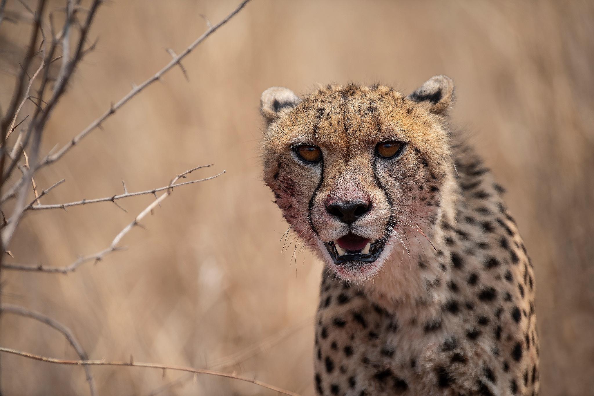 Cheetah by RonnieBergstrom
