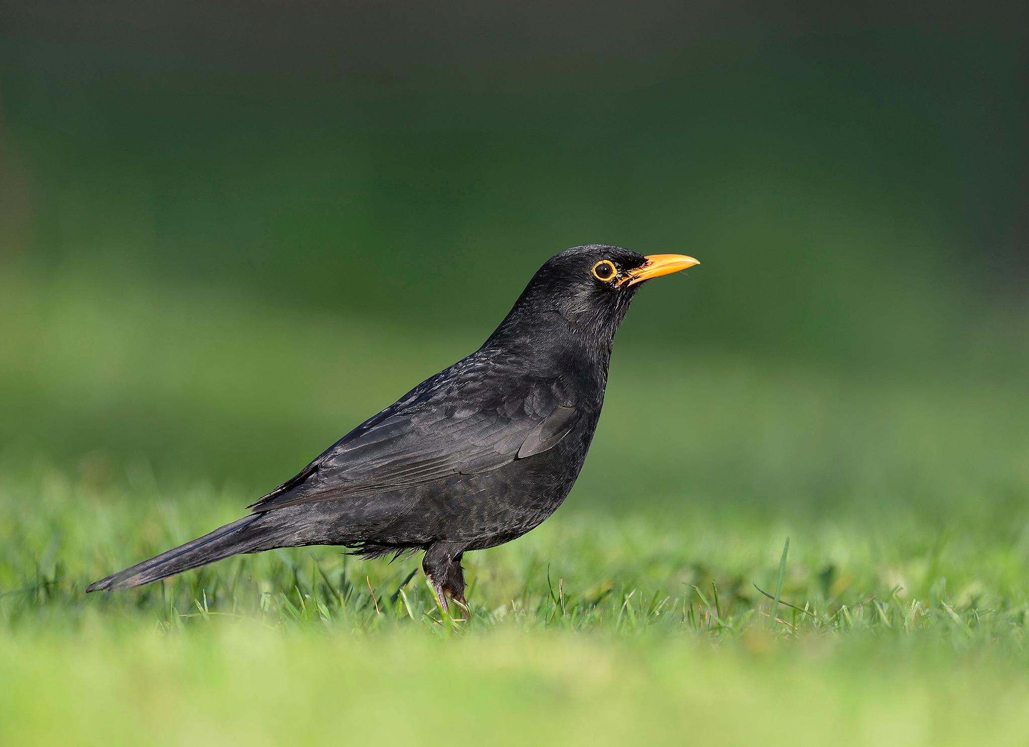 European blackbird by RonnieBergstrom
