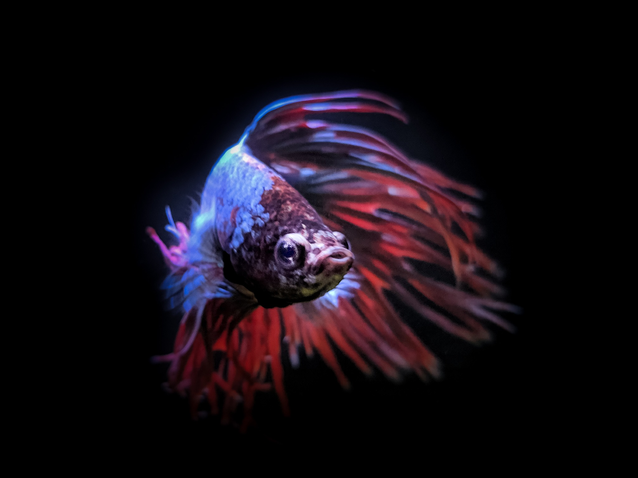 Betta by Gary Tripp