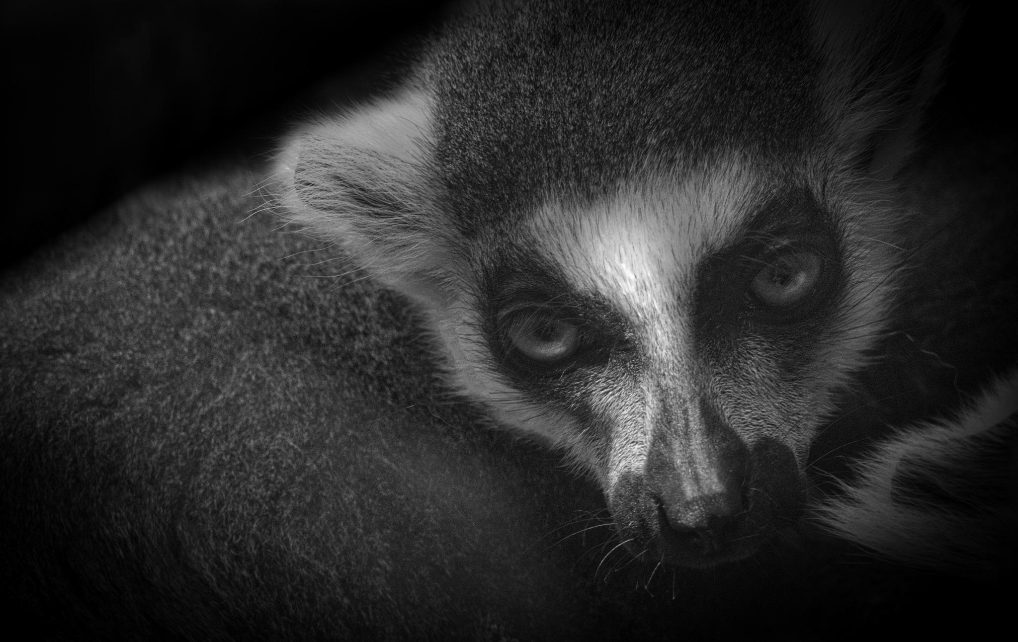 Lemur by Gary Tripp