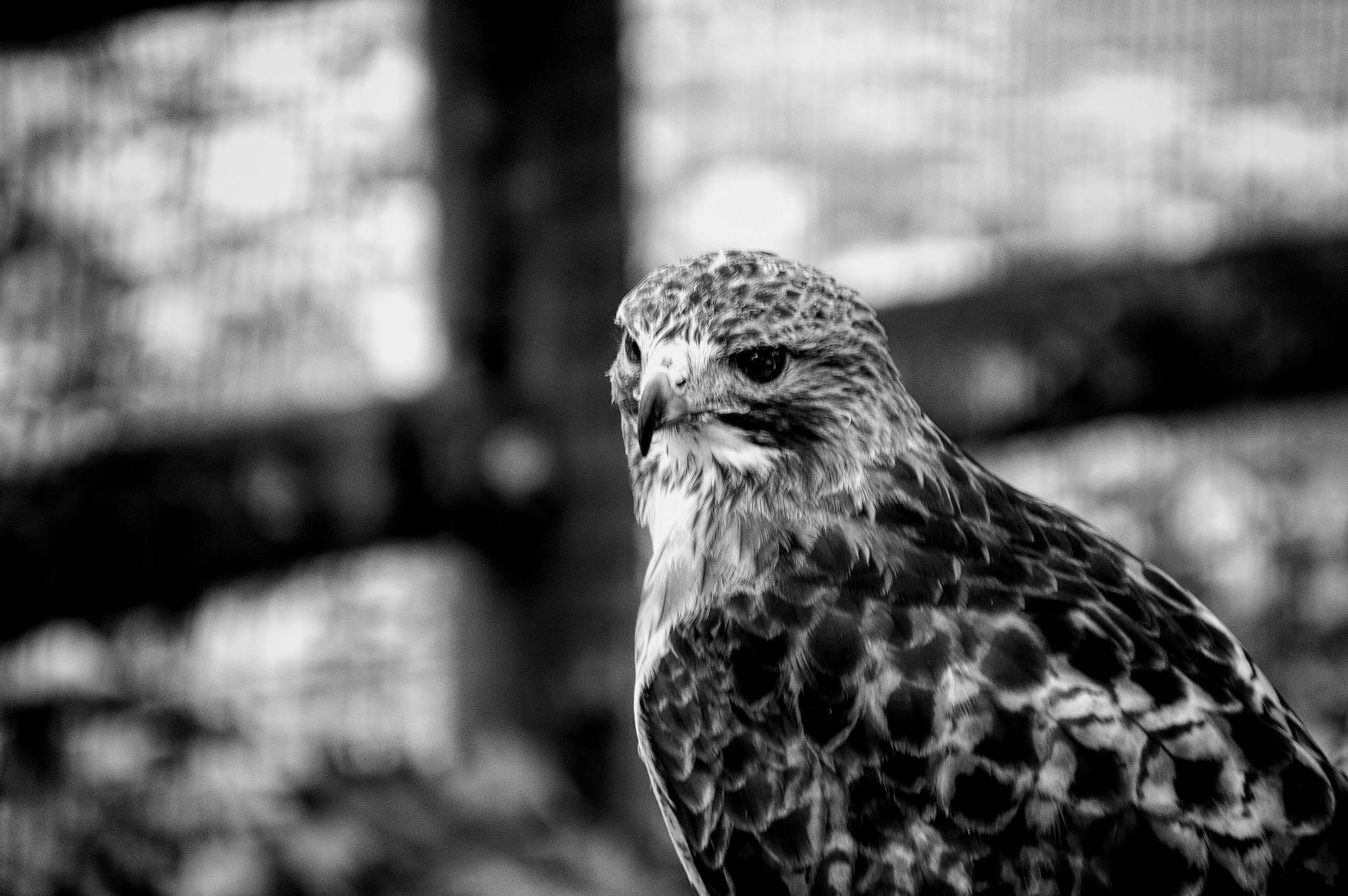 Hawk Eye's by 68steelphotos
