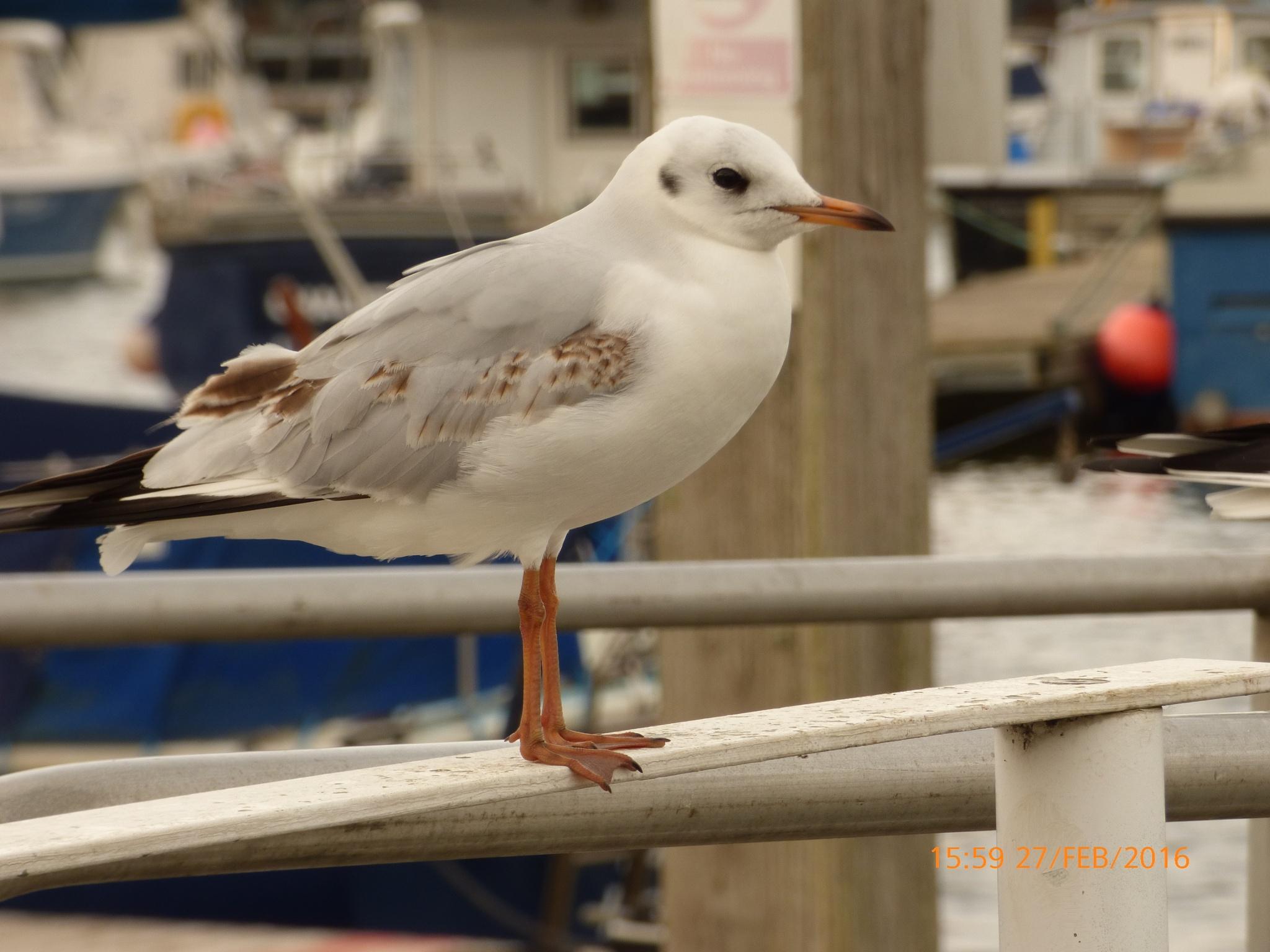 a beautiful seagull by chinaclowns2
