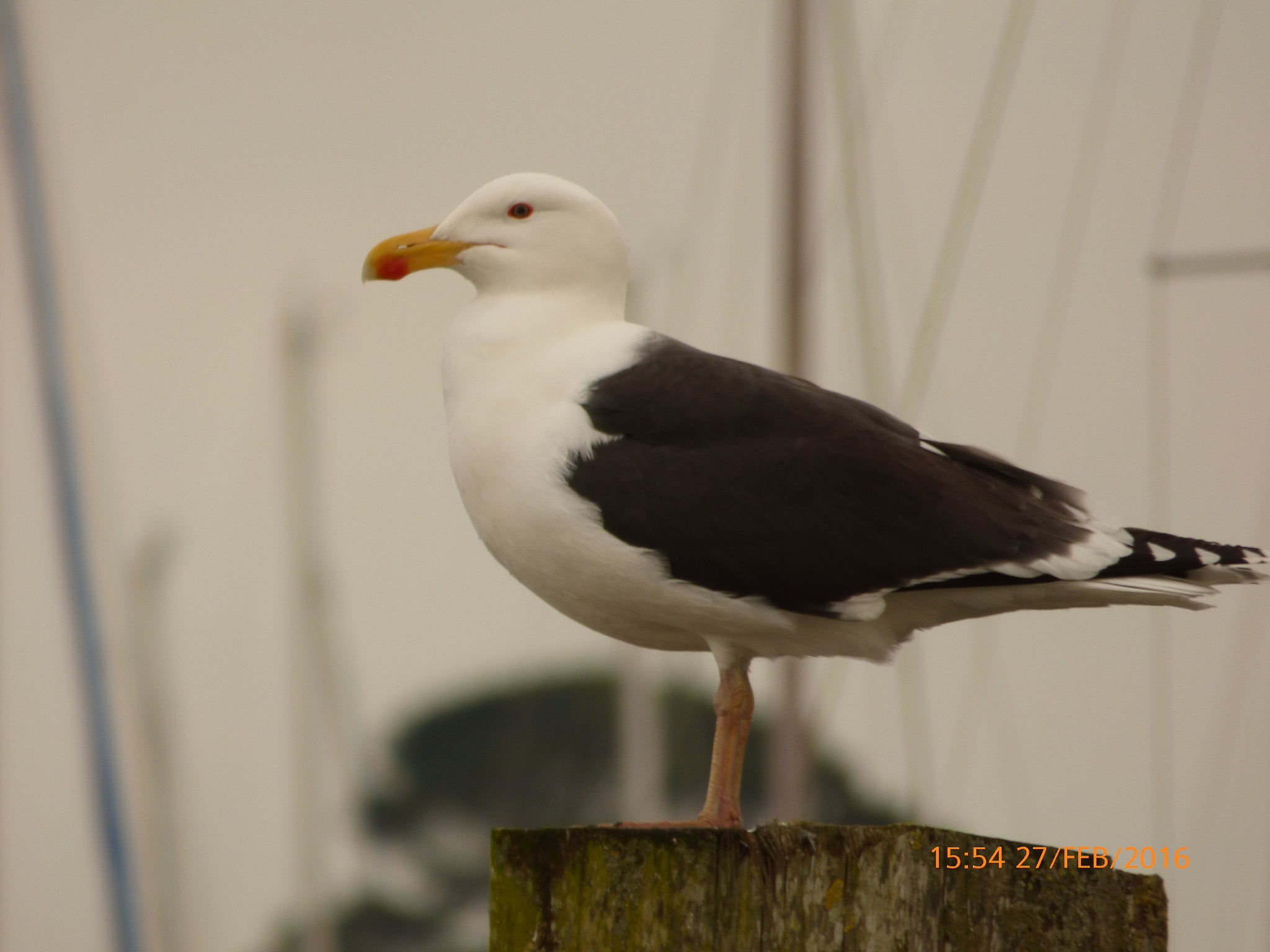a lovely seagull  by chinaclowns2
