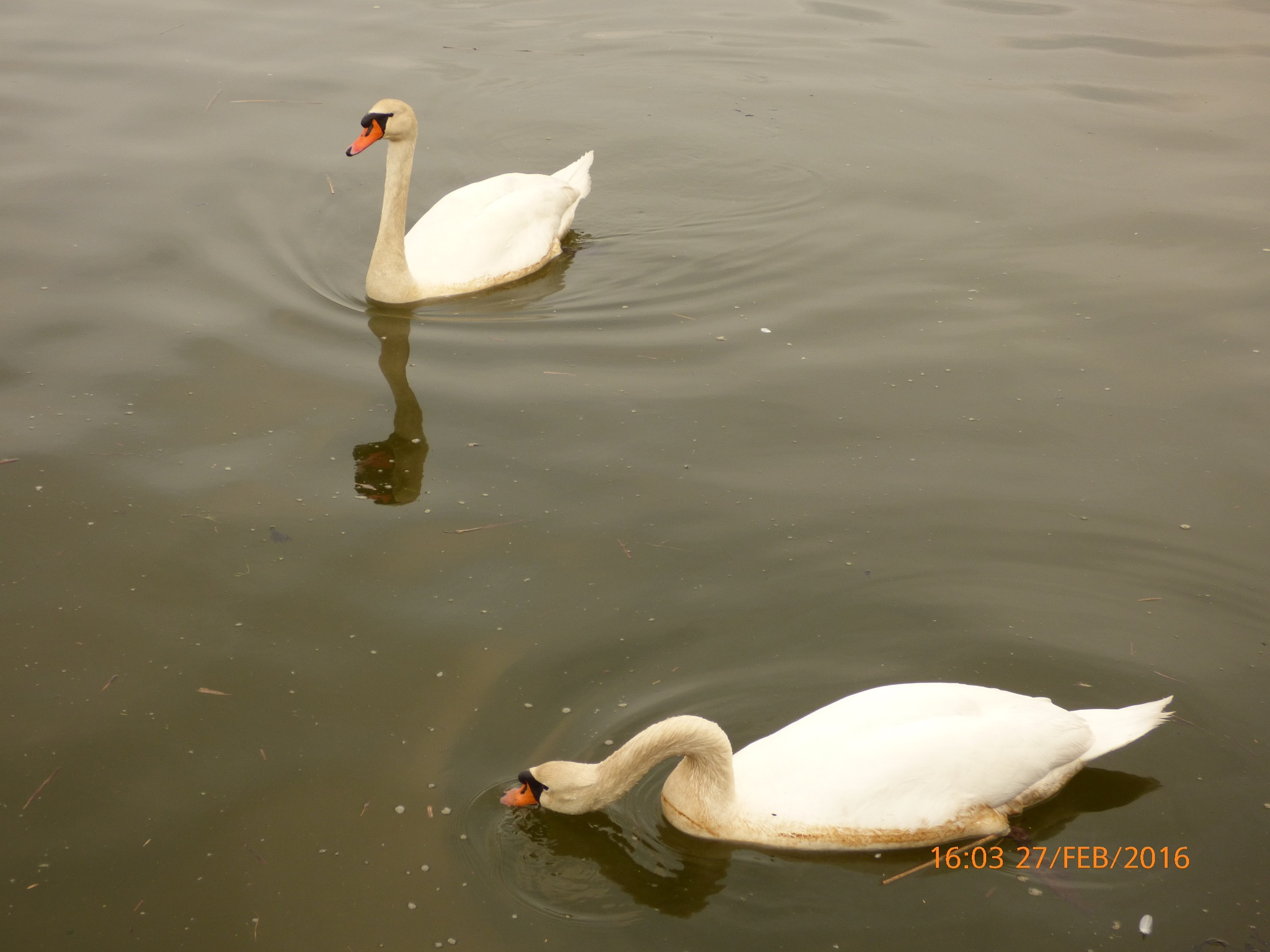 2 Swan's  by chinaclowns2