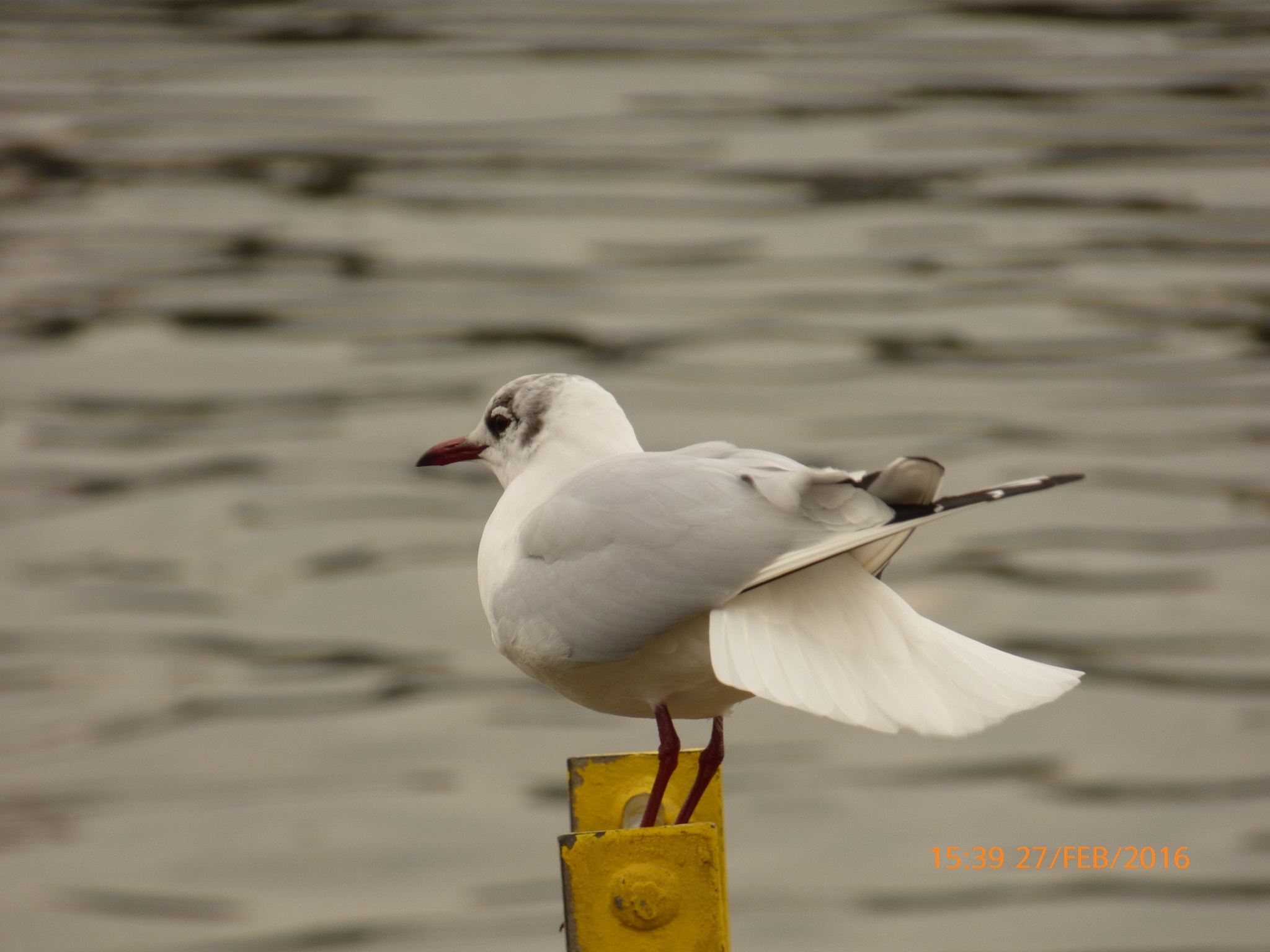 a seagull  by chinaclowns2