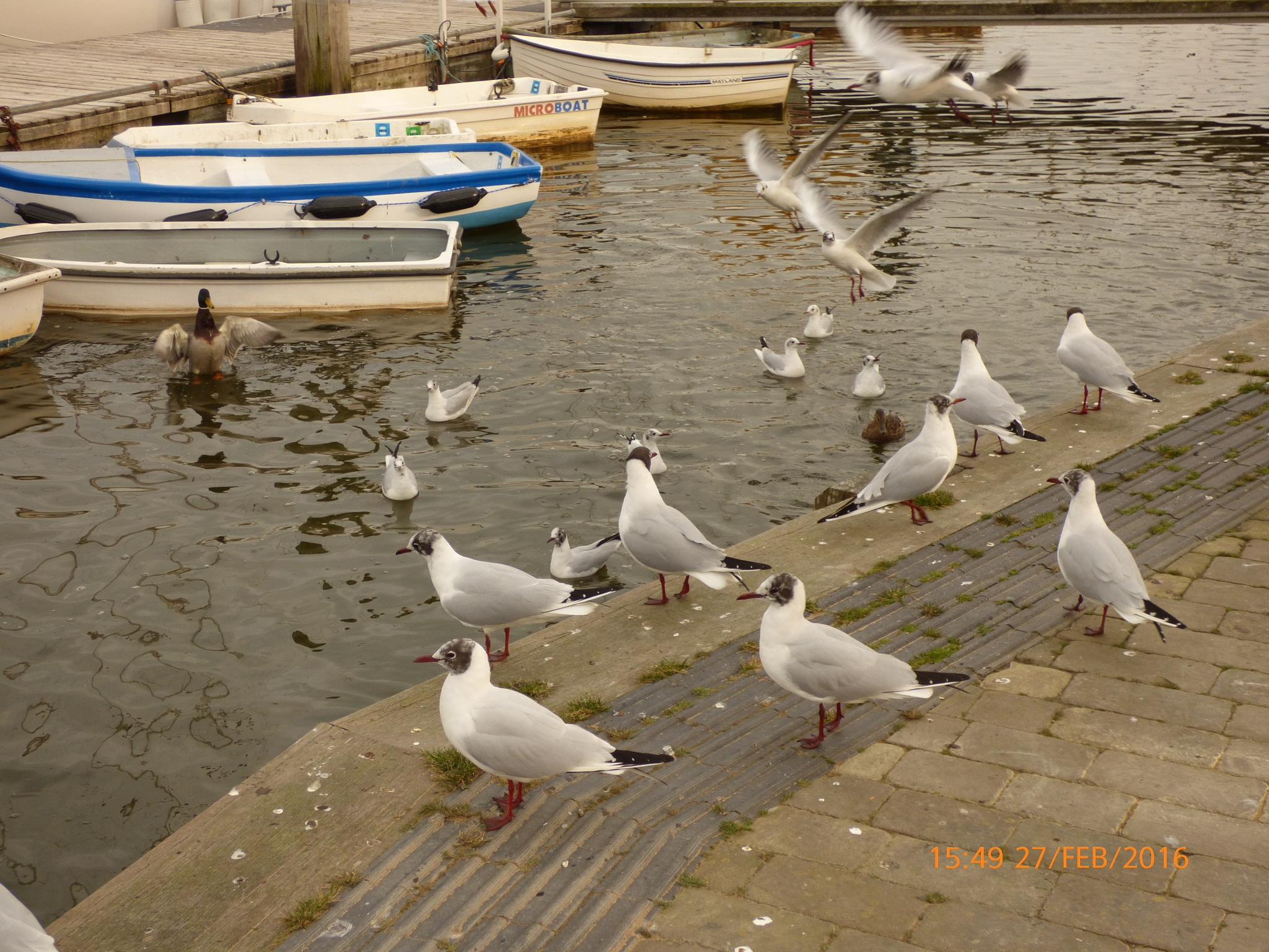 seagulls and ducks at the Quay  by chinaclowns2