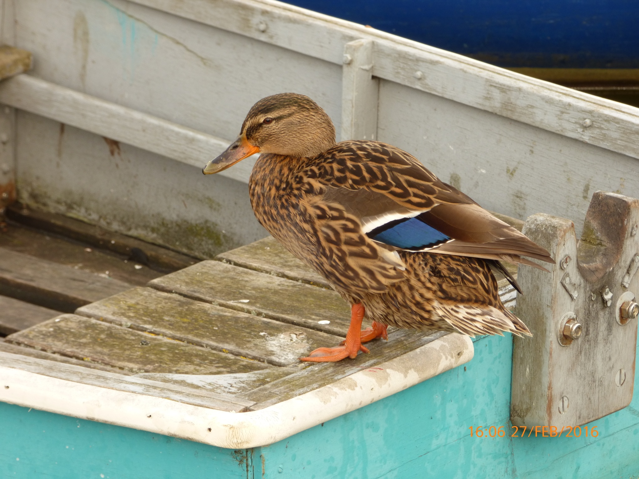 a lovely duck sitting on a boat  by chinaclowns2